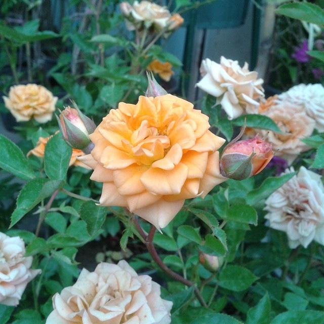 Rose by taherikambiz