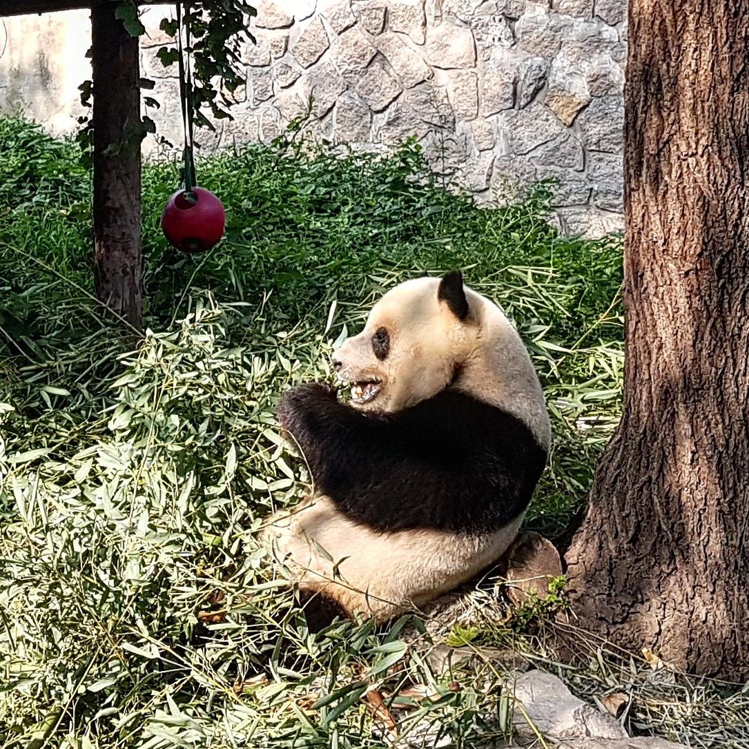 Panda by taherikambiz