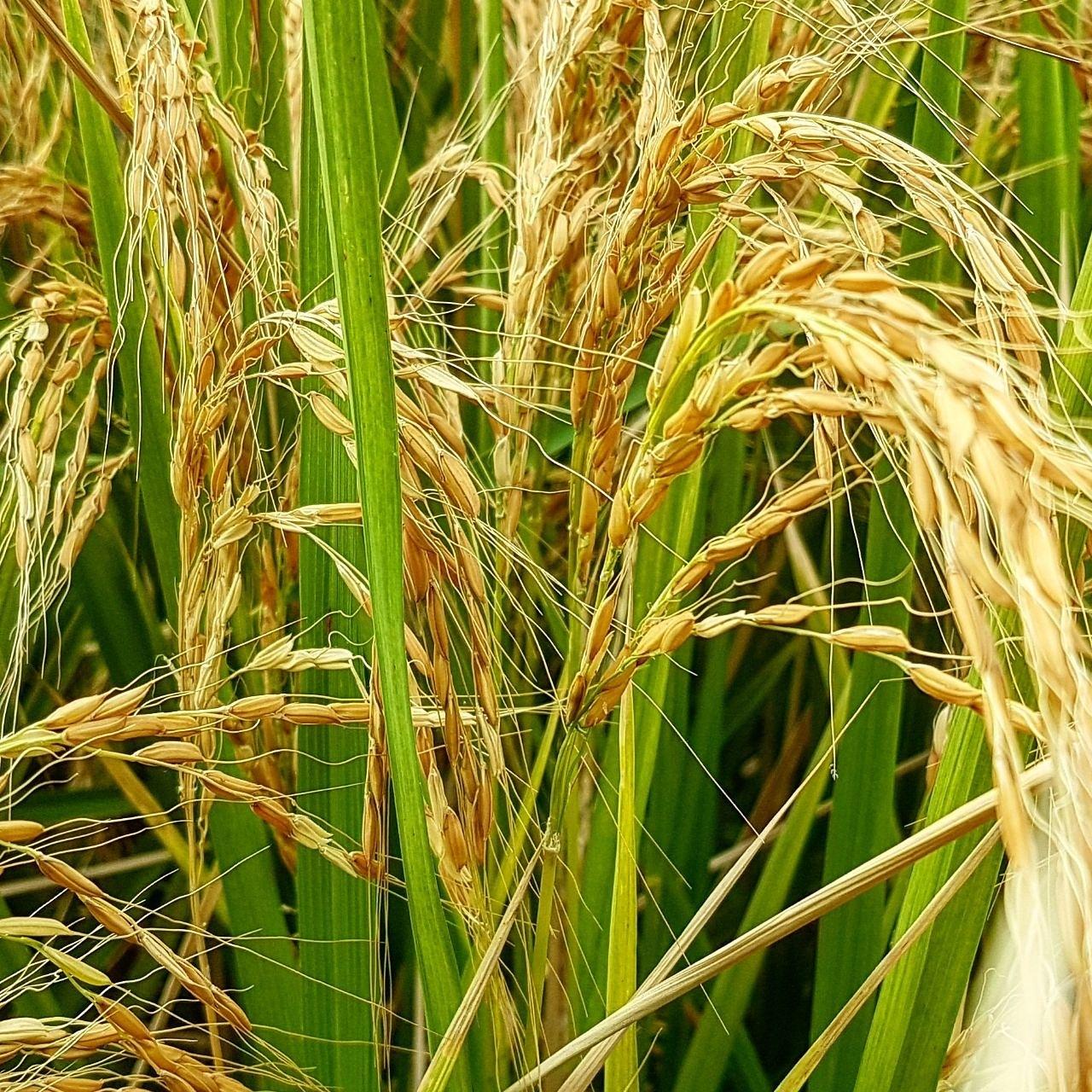 Rice by taherikambiz