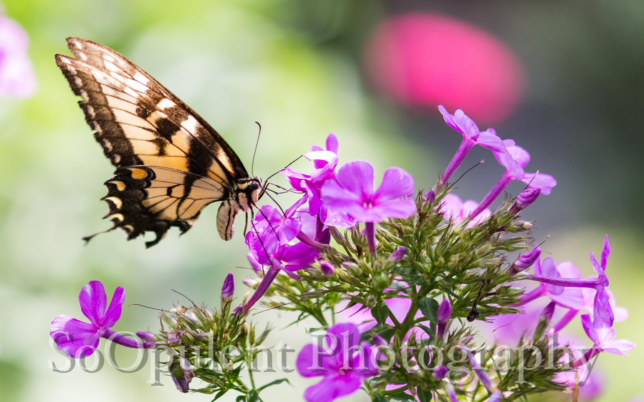 Gibbs Butterfly by SoOpulent Photography
