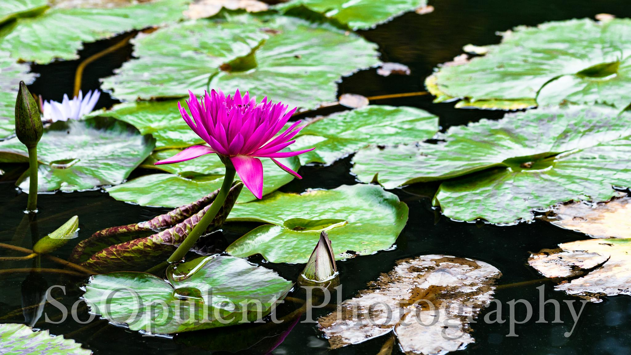 Water Lilly by SoOpulent Photography