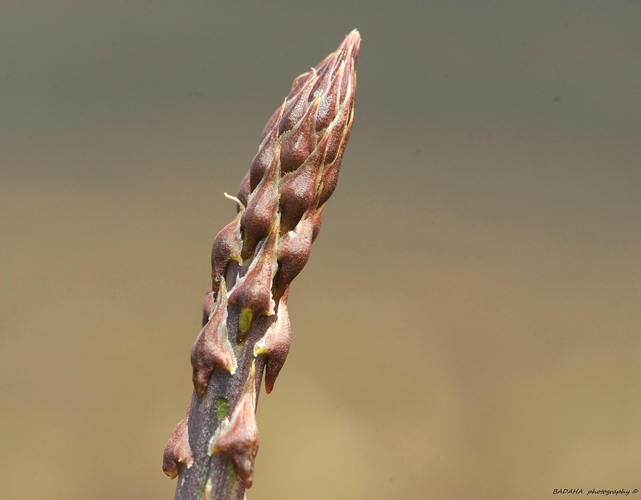 wild asparagus      by Mohammad Badaha