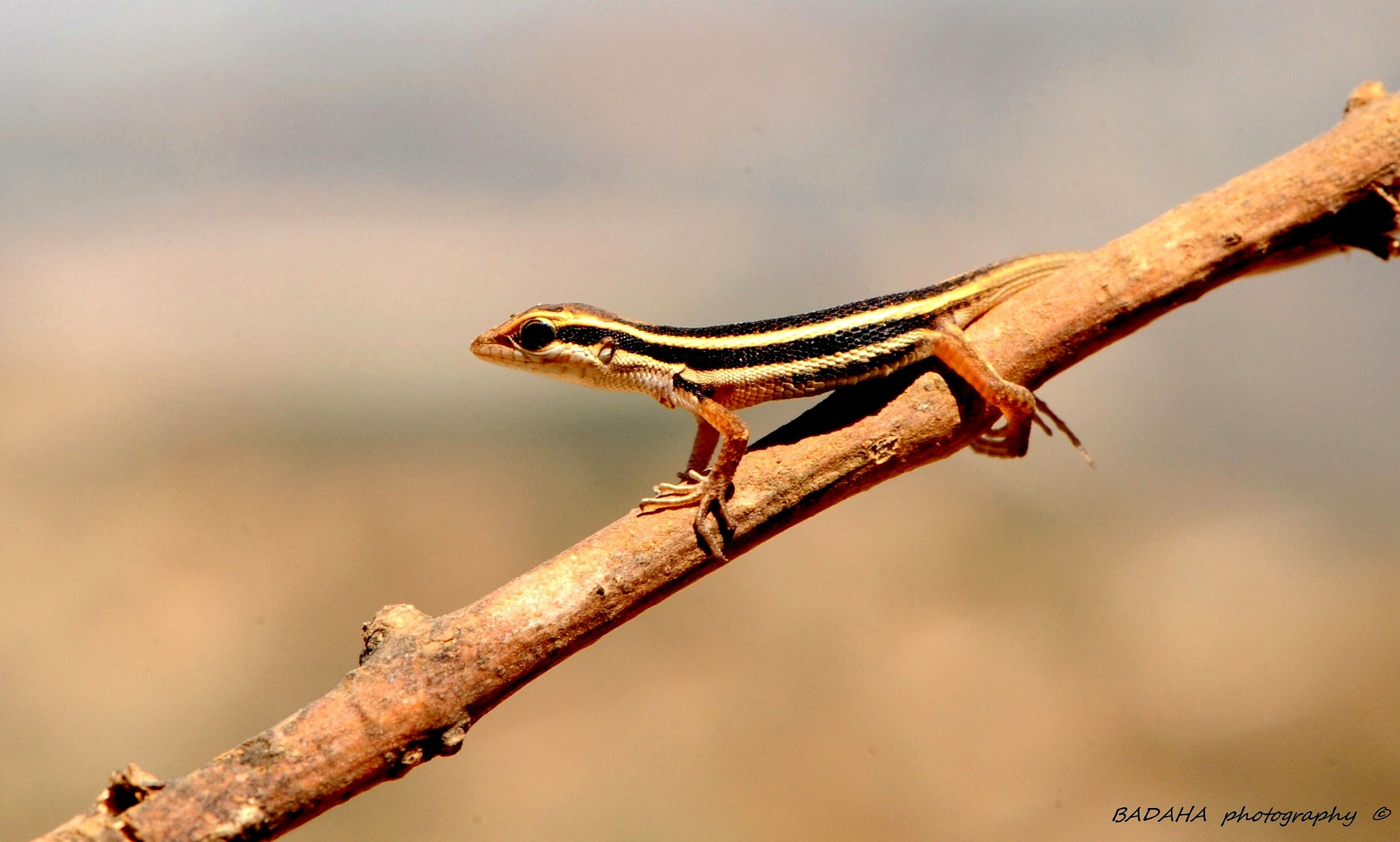 lizard  by Mohammad Badaha