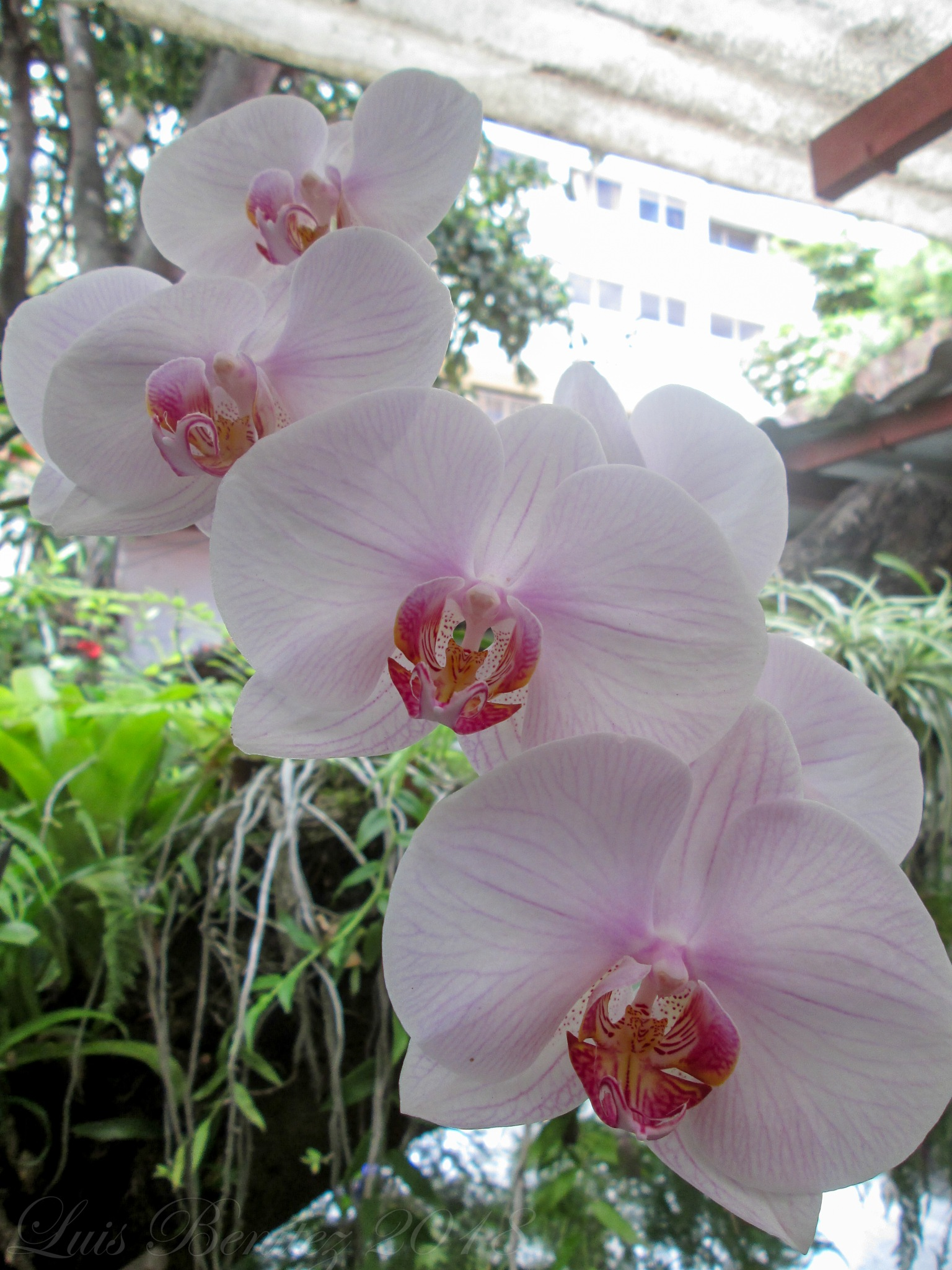 Butterfly Orchids by Luis Benítez