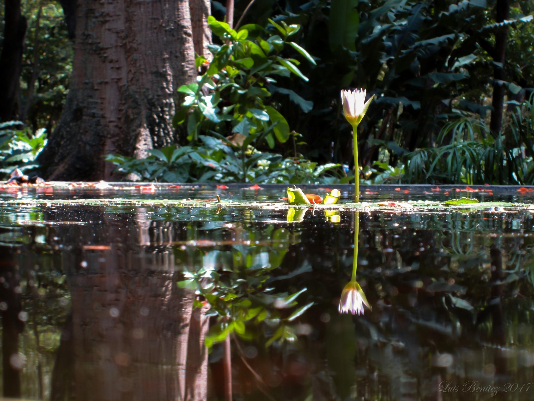 Nymphaea capensis / Water lily by Luis Benítez
