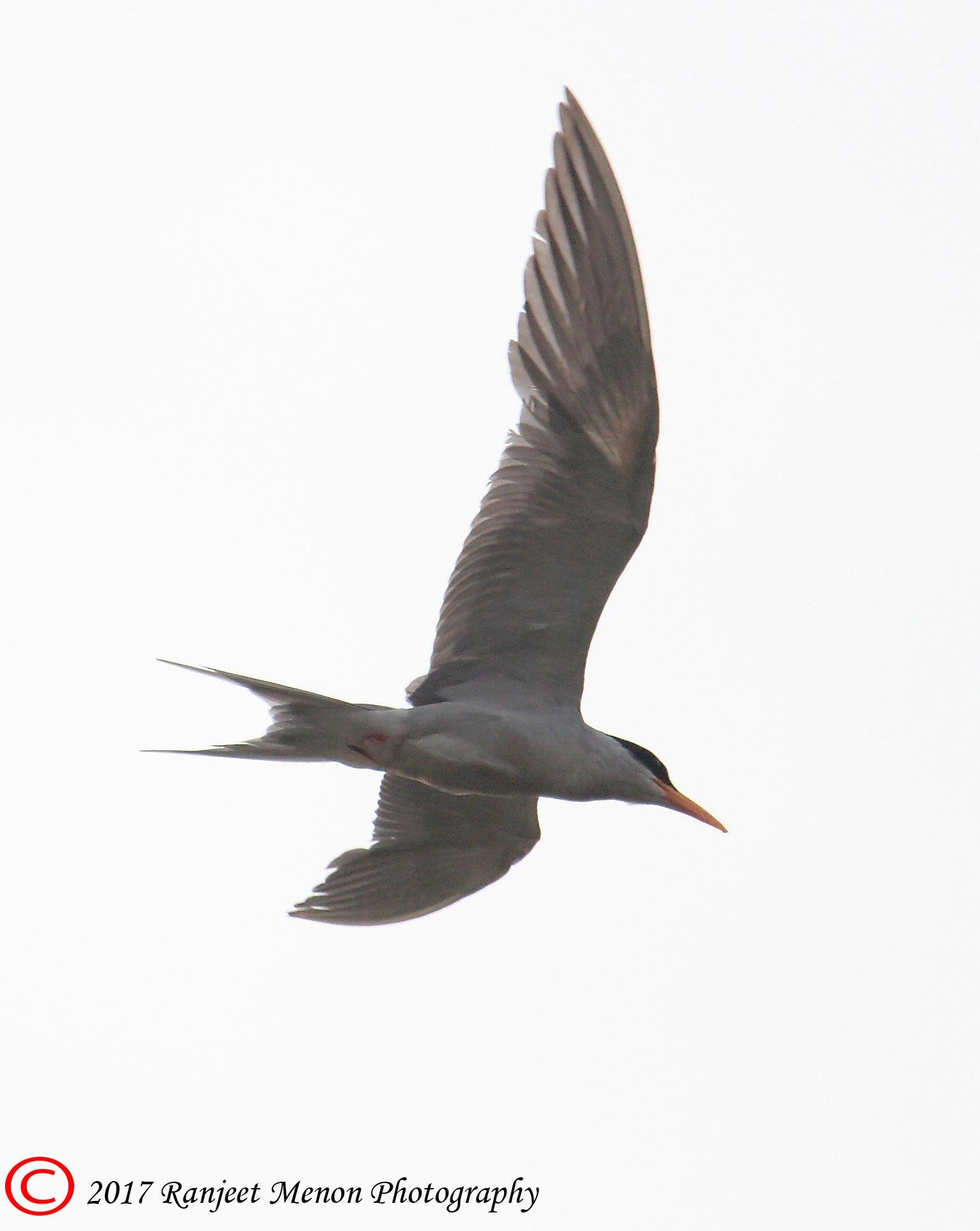 River Tern in flight by Ranjeet Menon