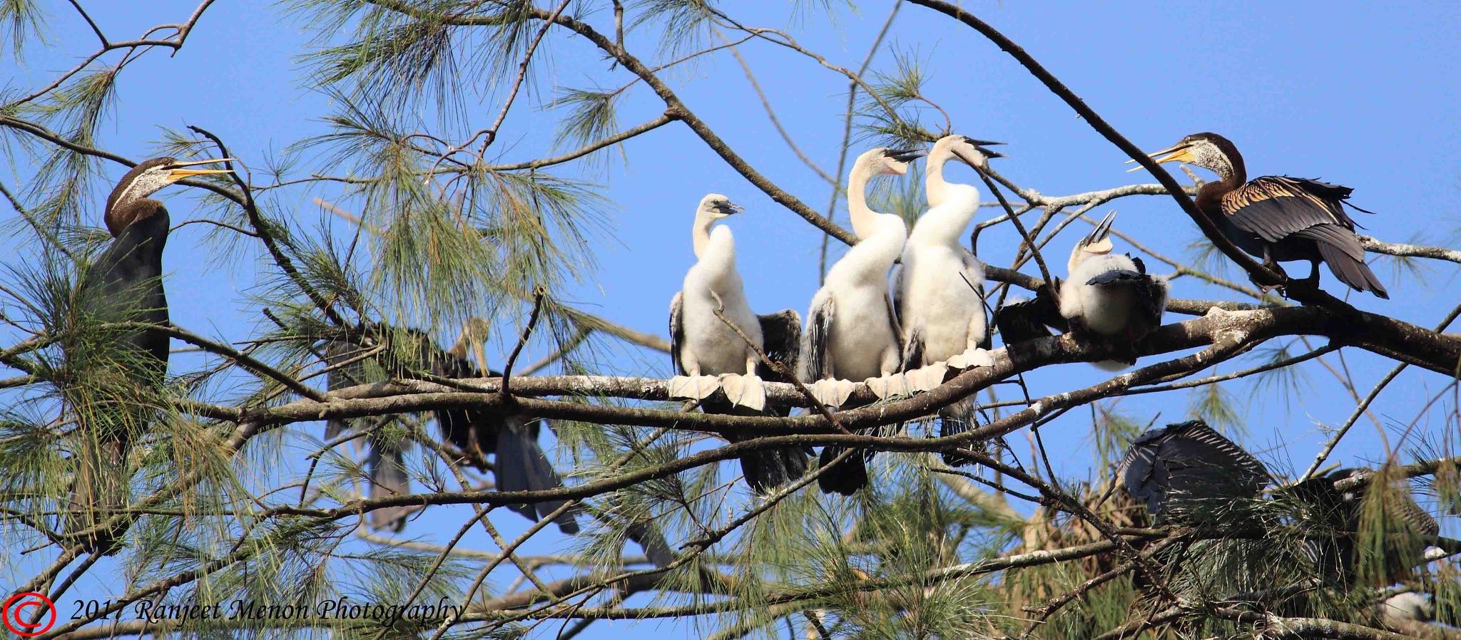 Indian Darter family by Ranjeet Menon