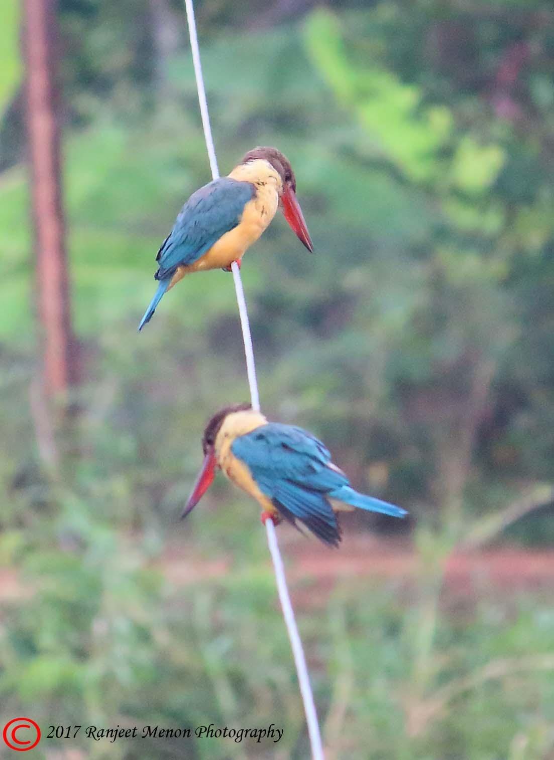 Stork billed Kingfishers by Ranjeet Menon