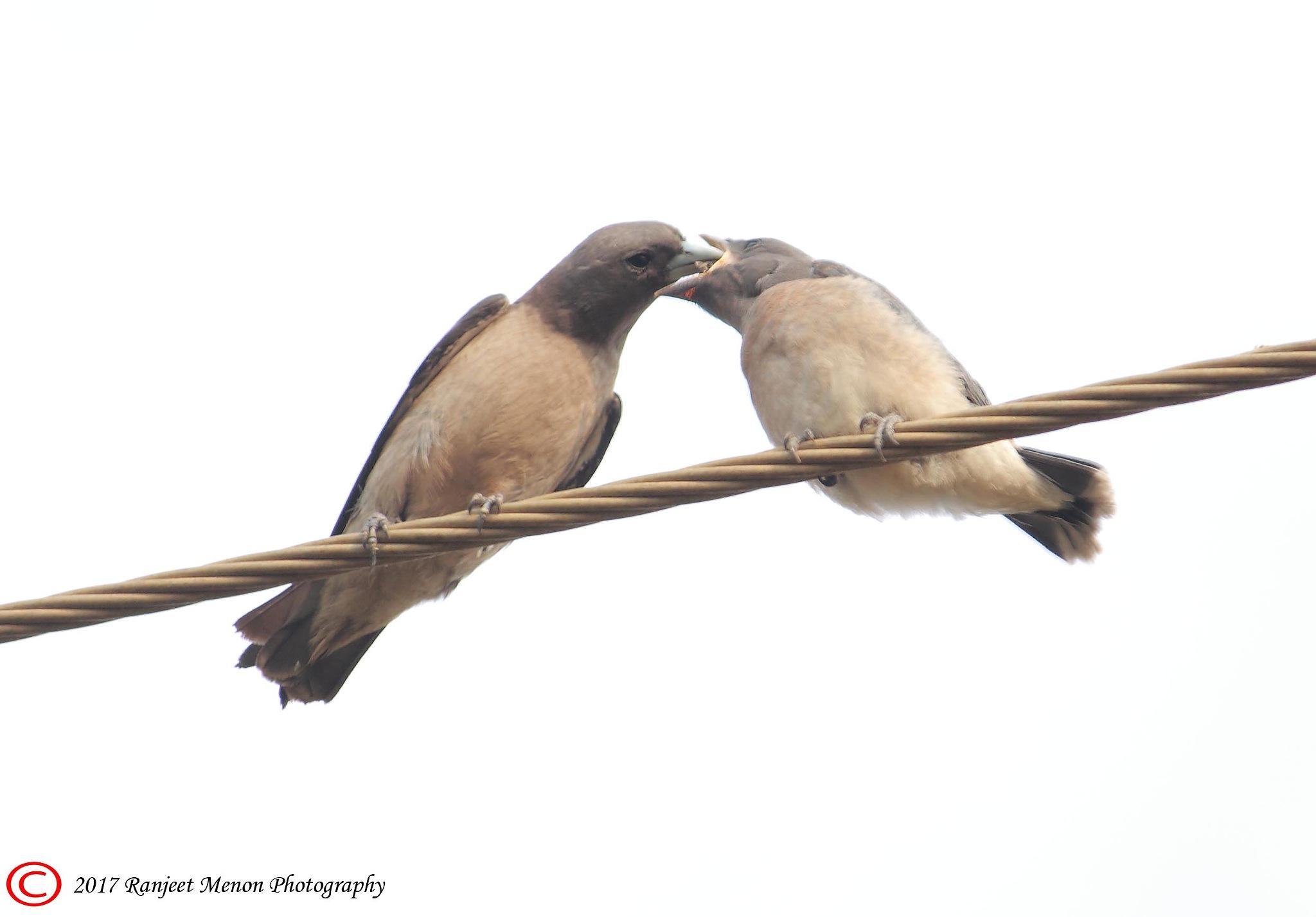Ashy Woodswallow feeding by Ranjeet Menon