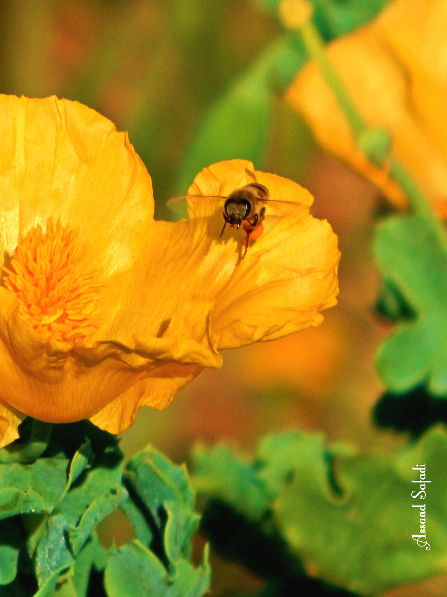Roses and bee.. by Assaad M Safadi
