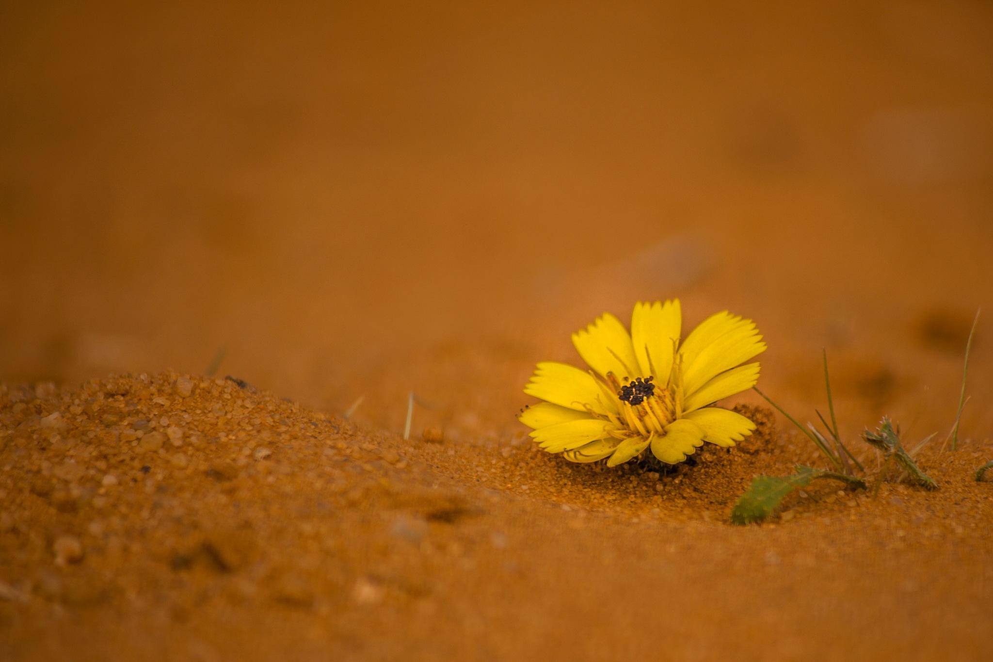 Flower of sand by Abd Salam Sahraoui