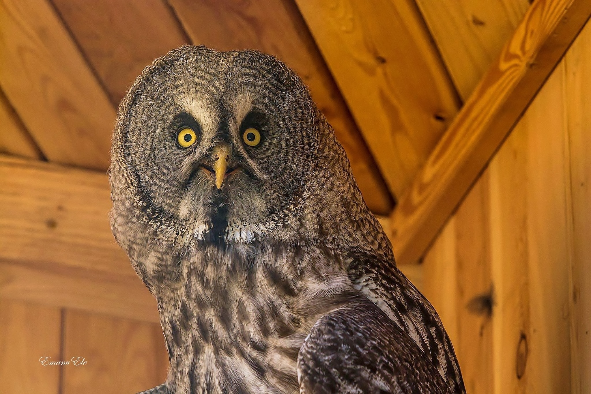 Great Gray Owl  by Emanu Ele Timpone