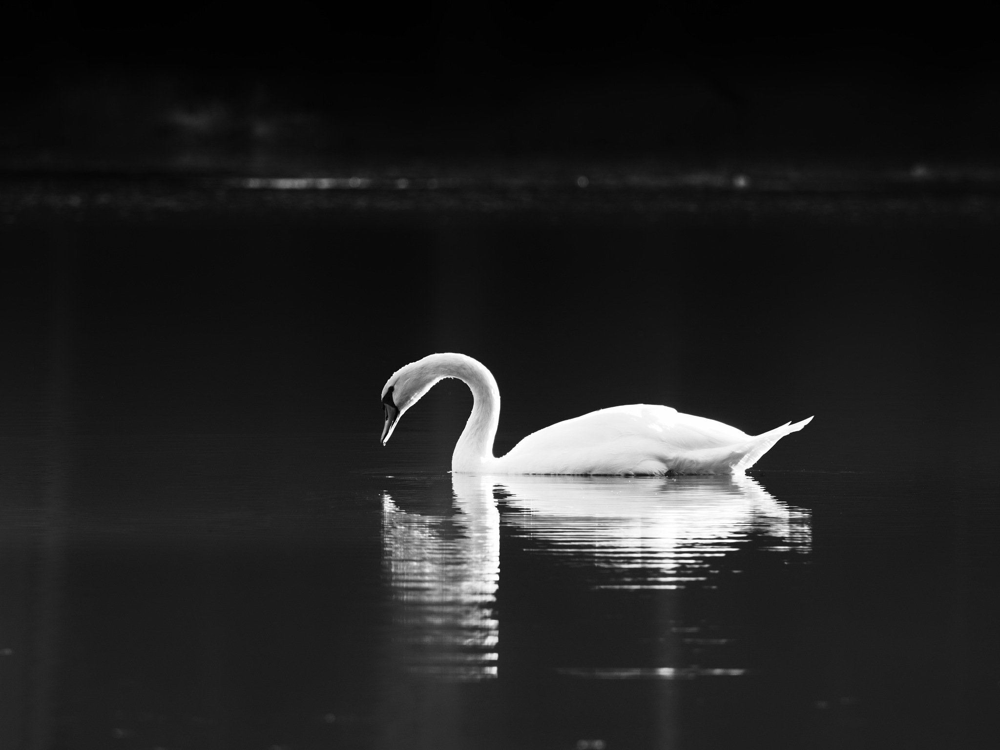 Swan by Lubos Kozler