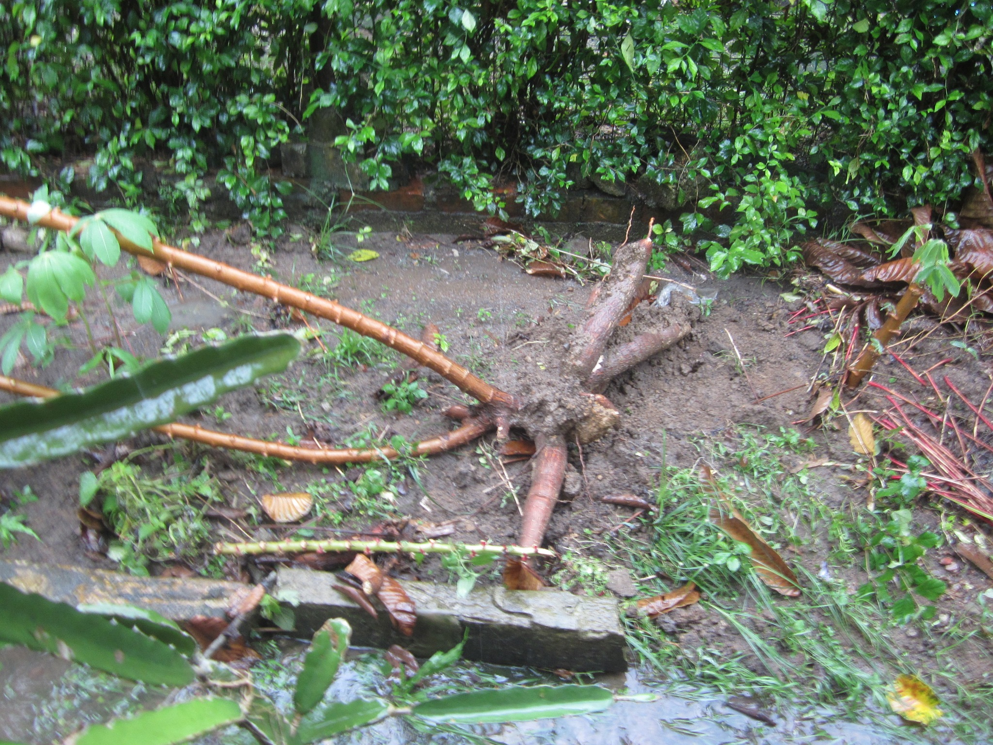After the storm...... tapioca plant uprooted.  by amie
