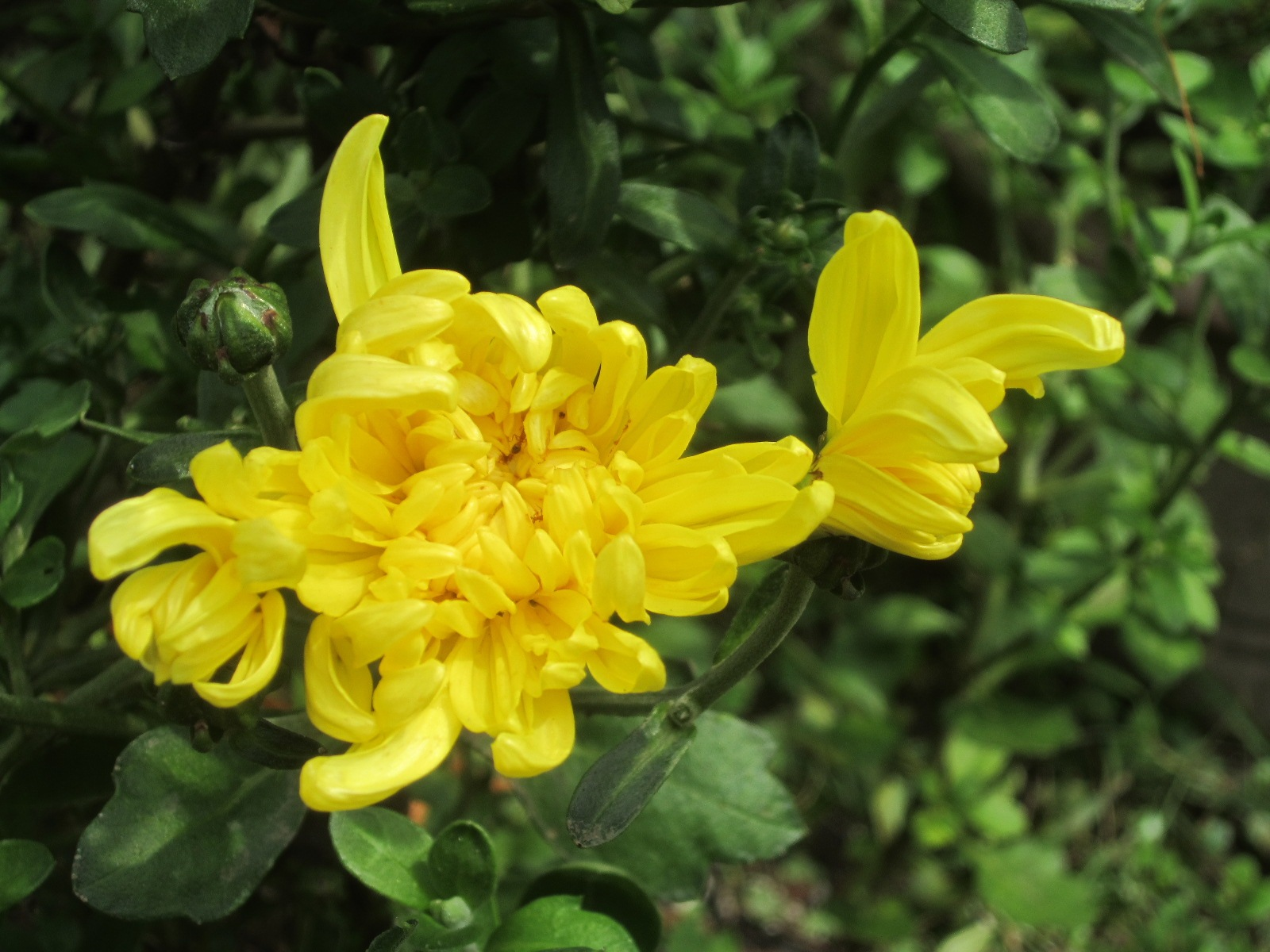 Chrysanthemum flower  by amie