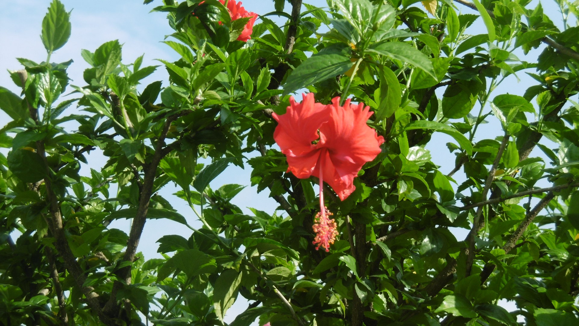 Red hibiscus  by amie