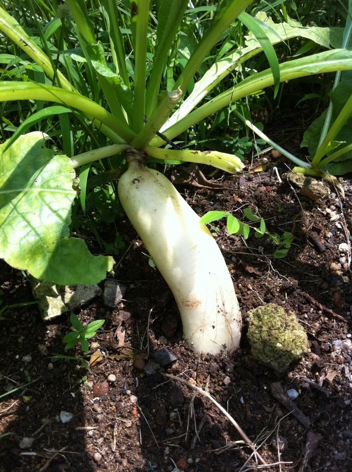 White radish from our garden by amie