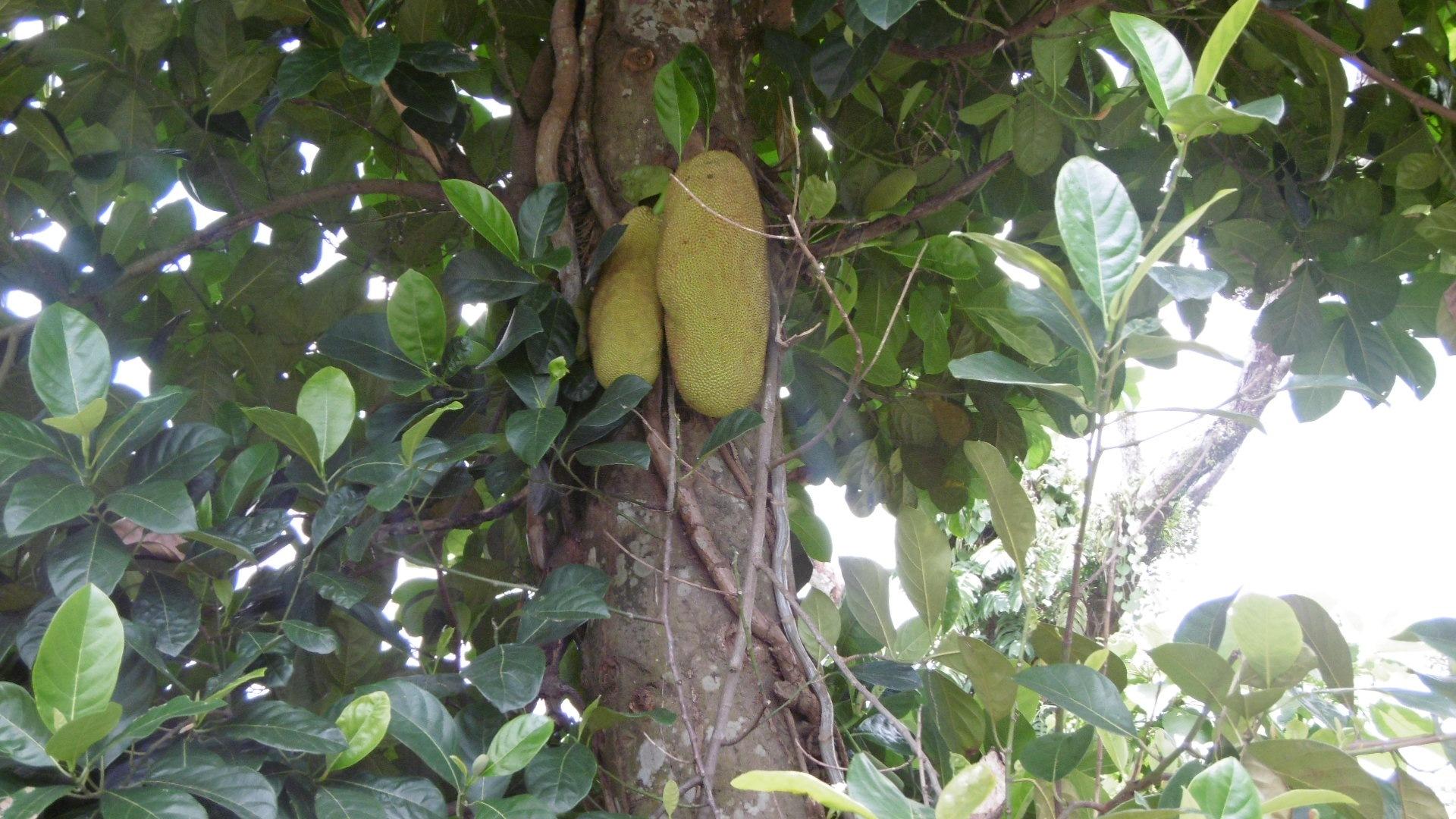 Jack fruit  by amie