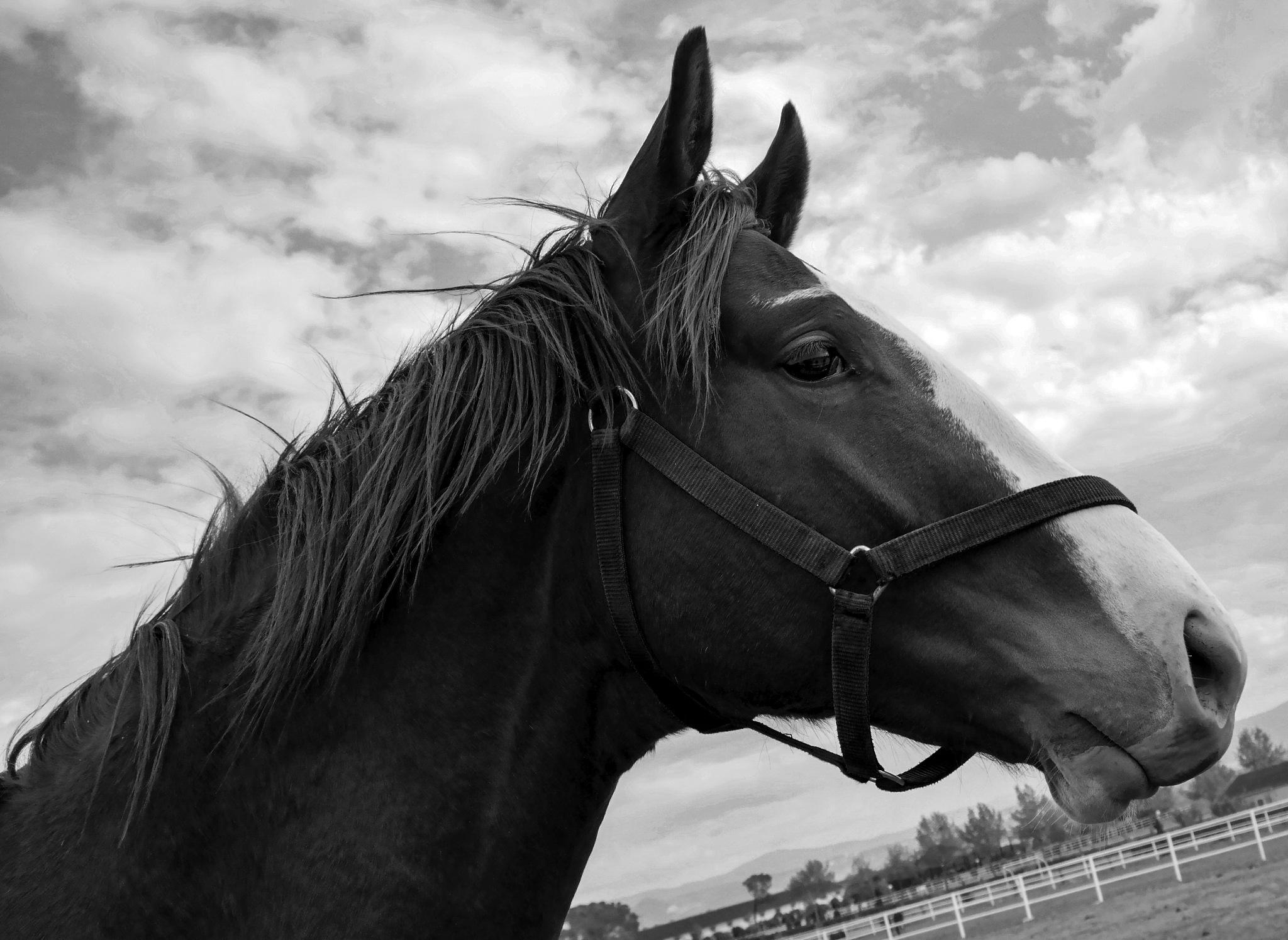 horse portrait-b&w version by Muhsin Özcan