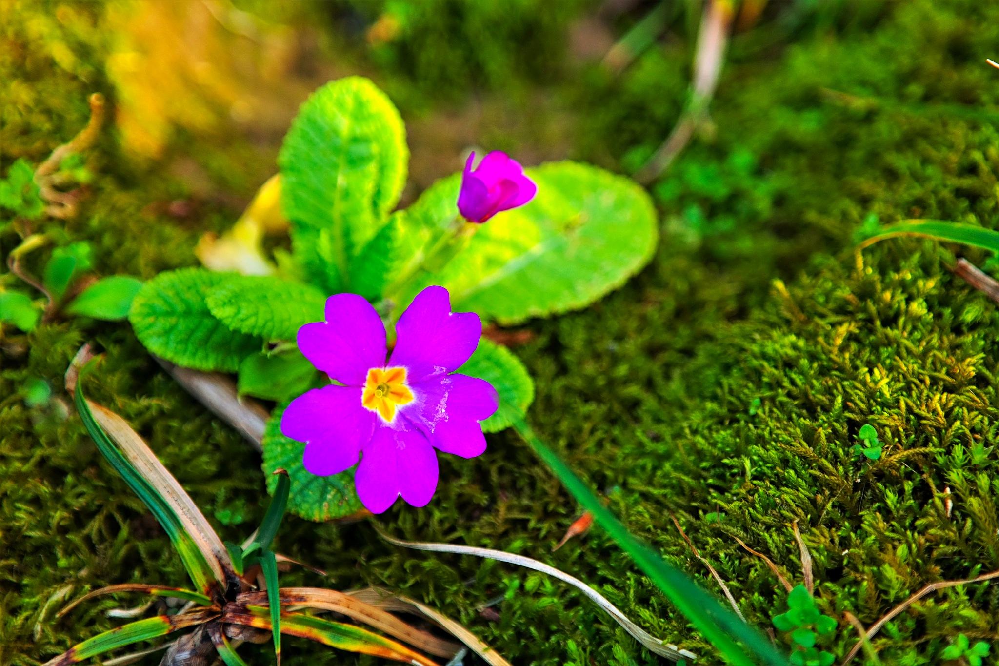 spring beauty by Muhsin Özcan