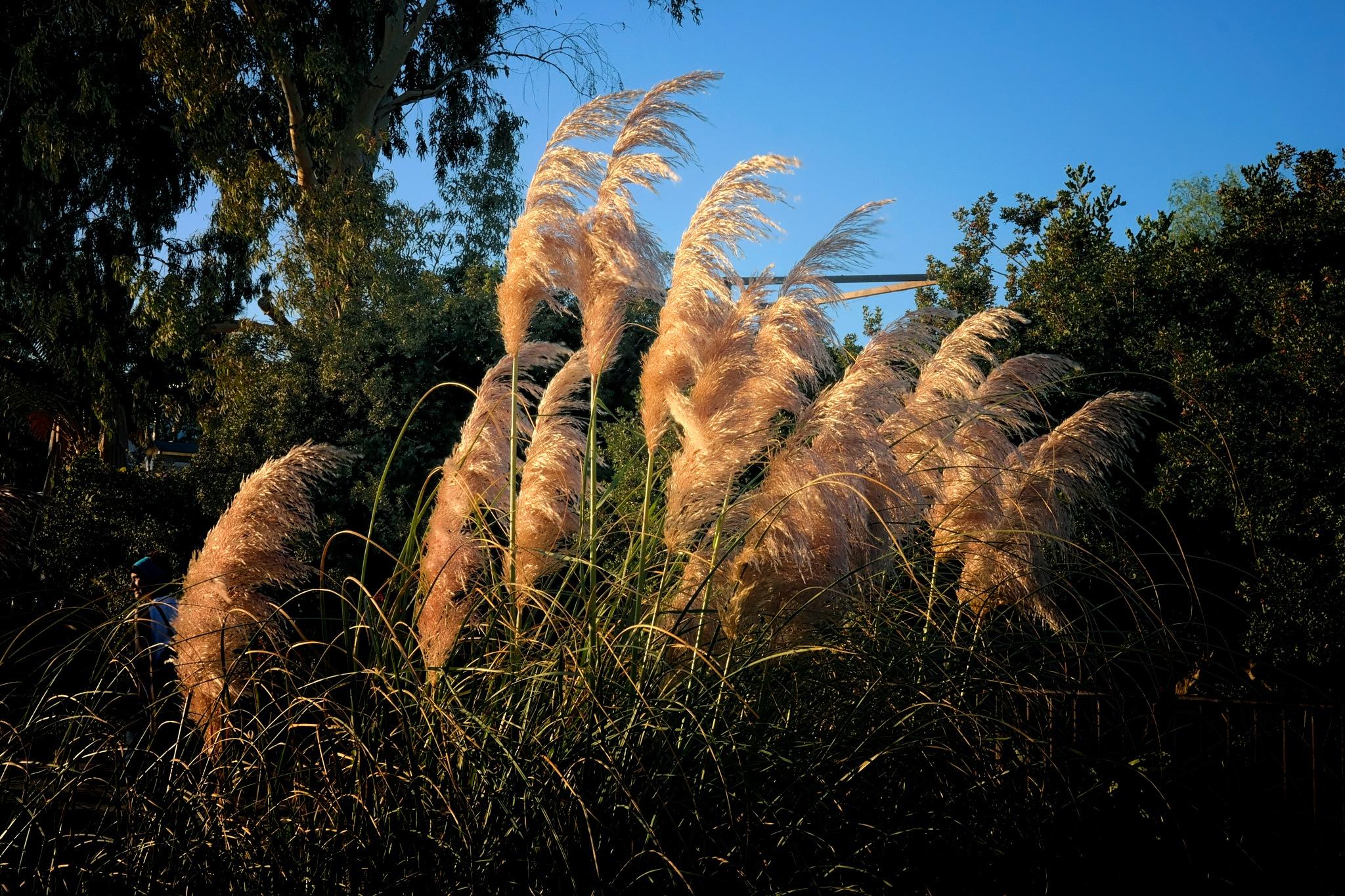 reed-flowers by Muhsin Özcan