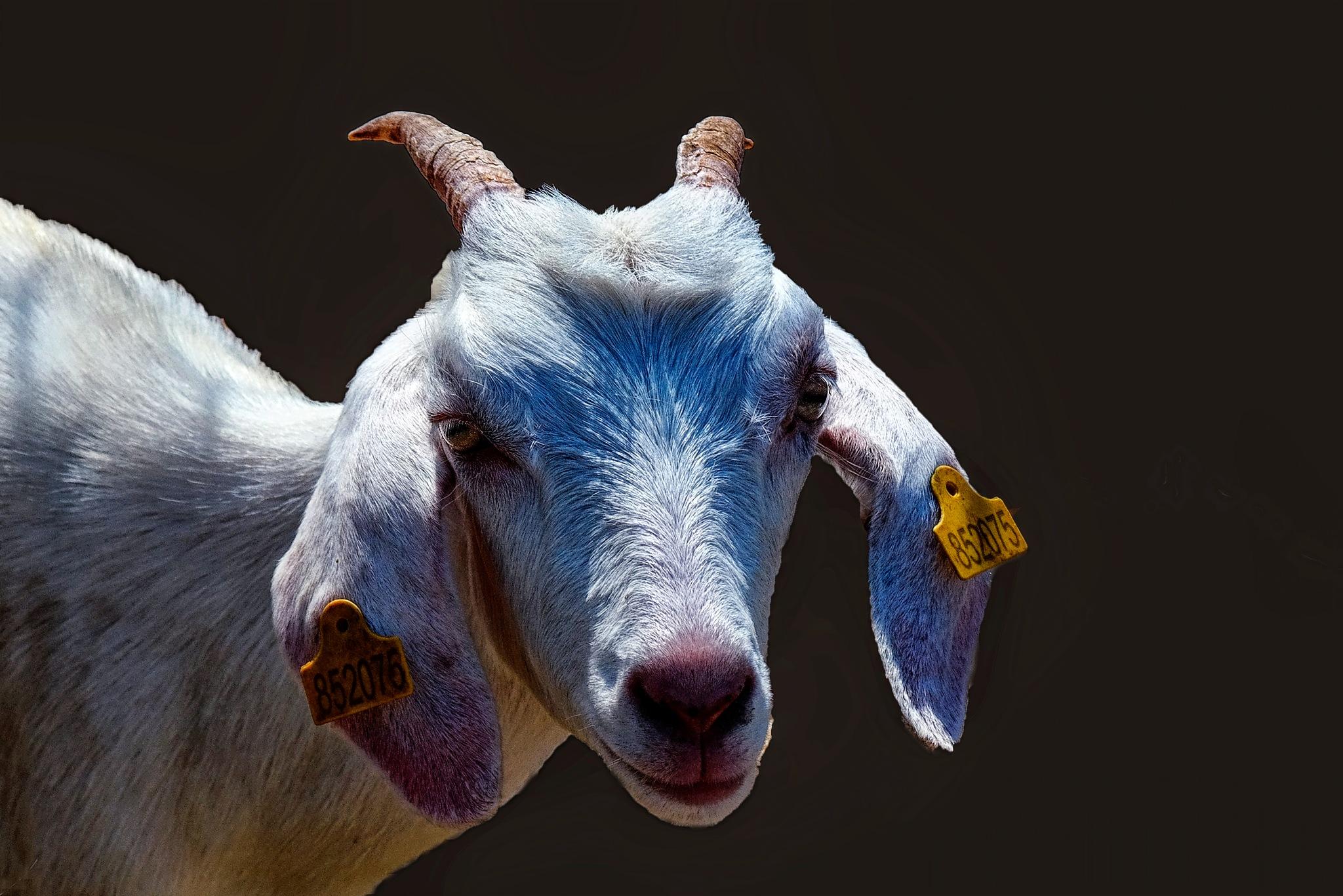 lamb-portrait by Muhsin Özcan