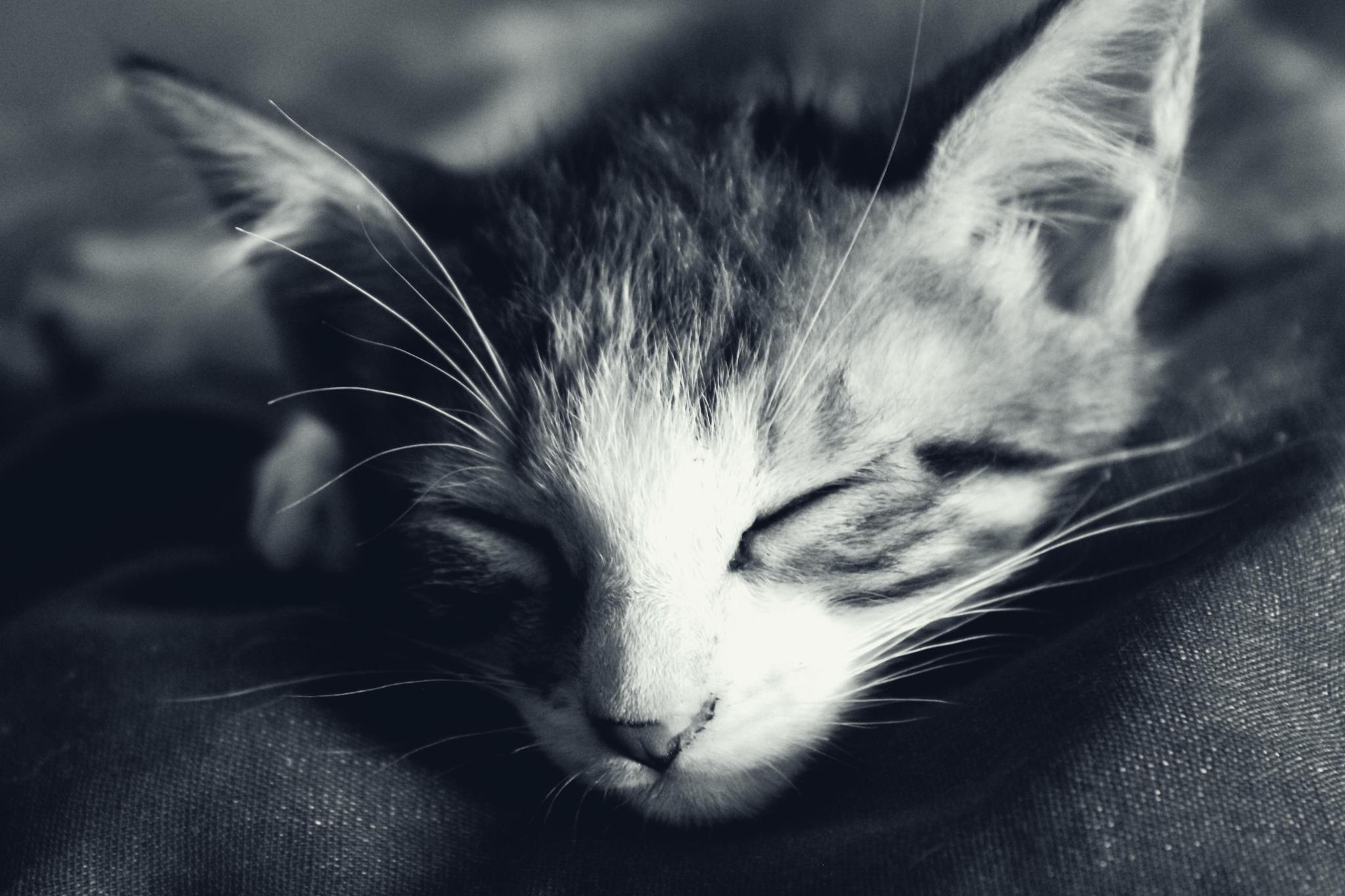 Sleeping Kitten by Kevin Mansilla