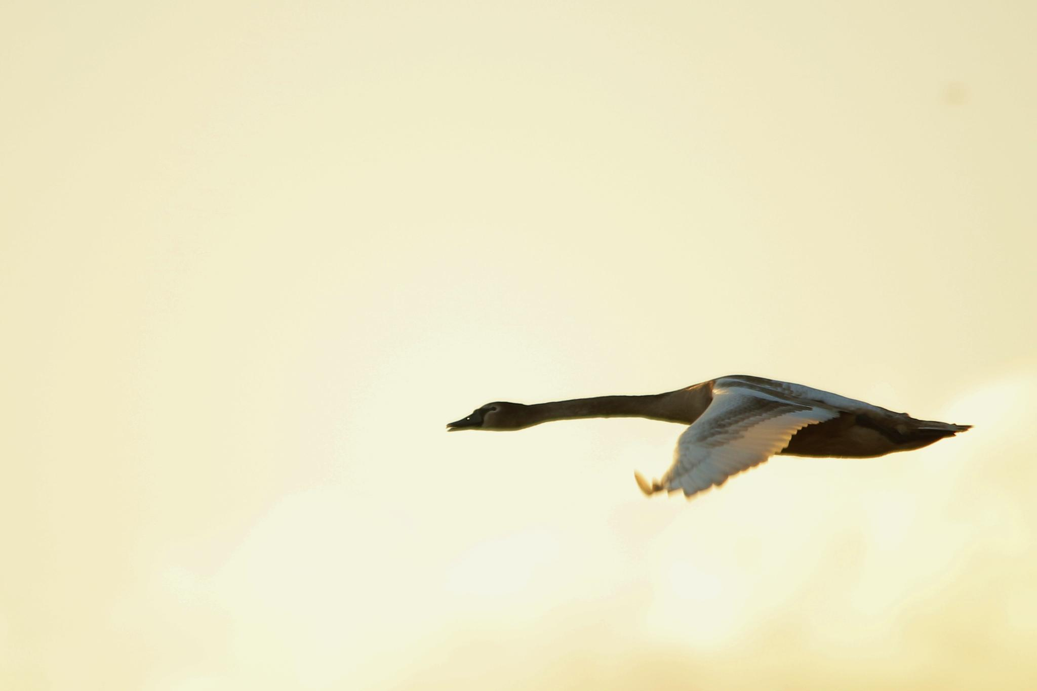 A swan in backlit by John Friis Mortensen