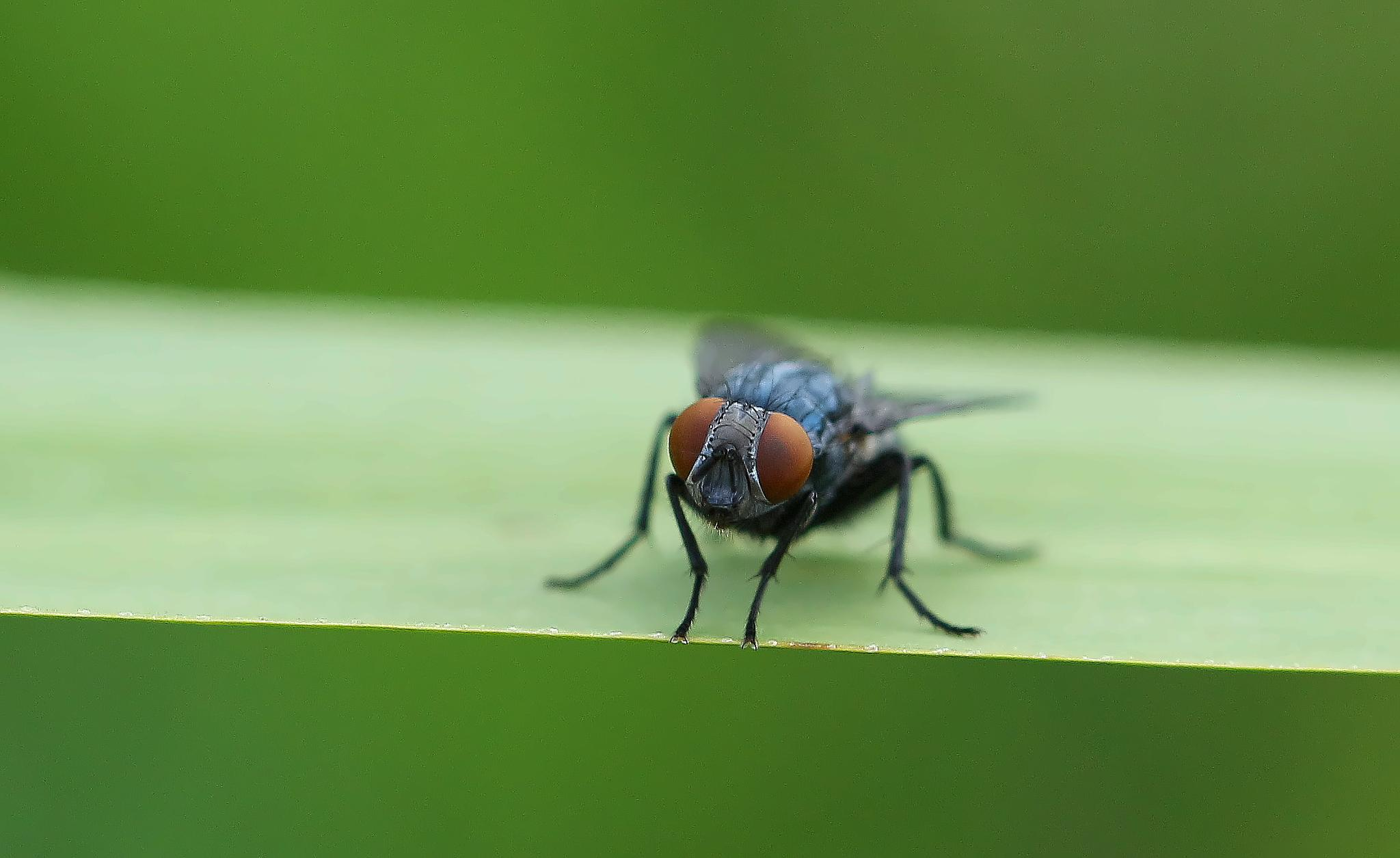 Flue. (fly) by John Friis Mortensen
