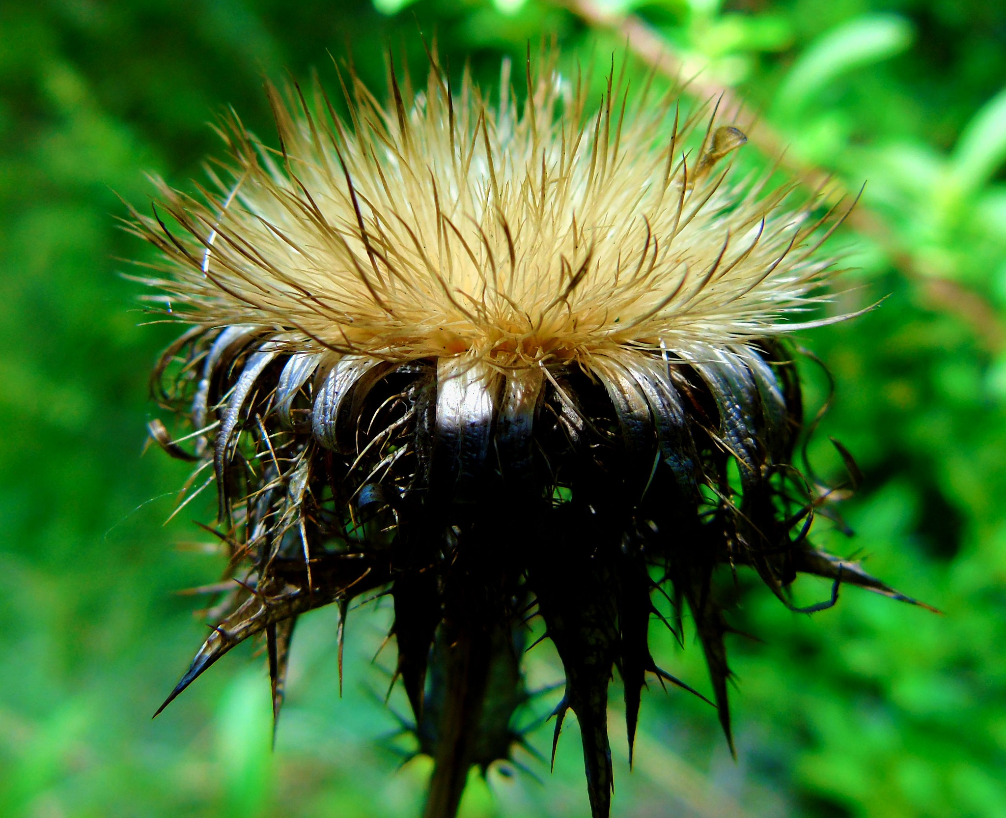 Thistle by Dean Bryant