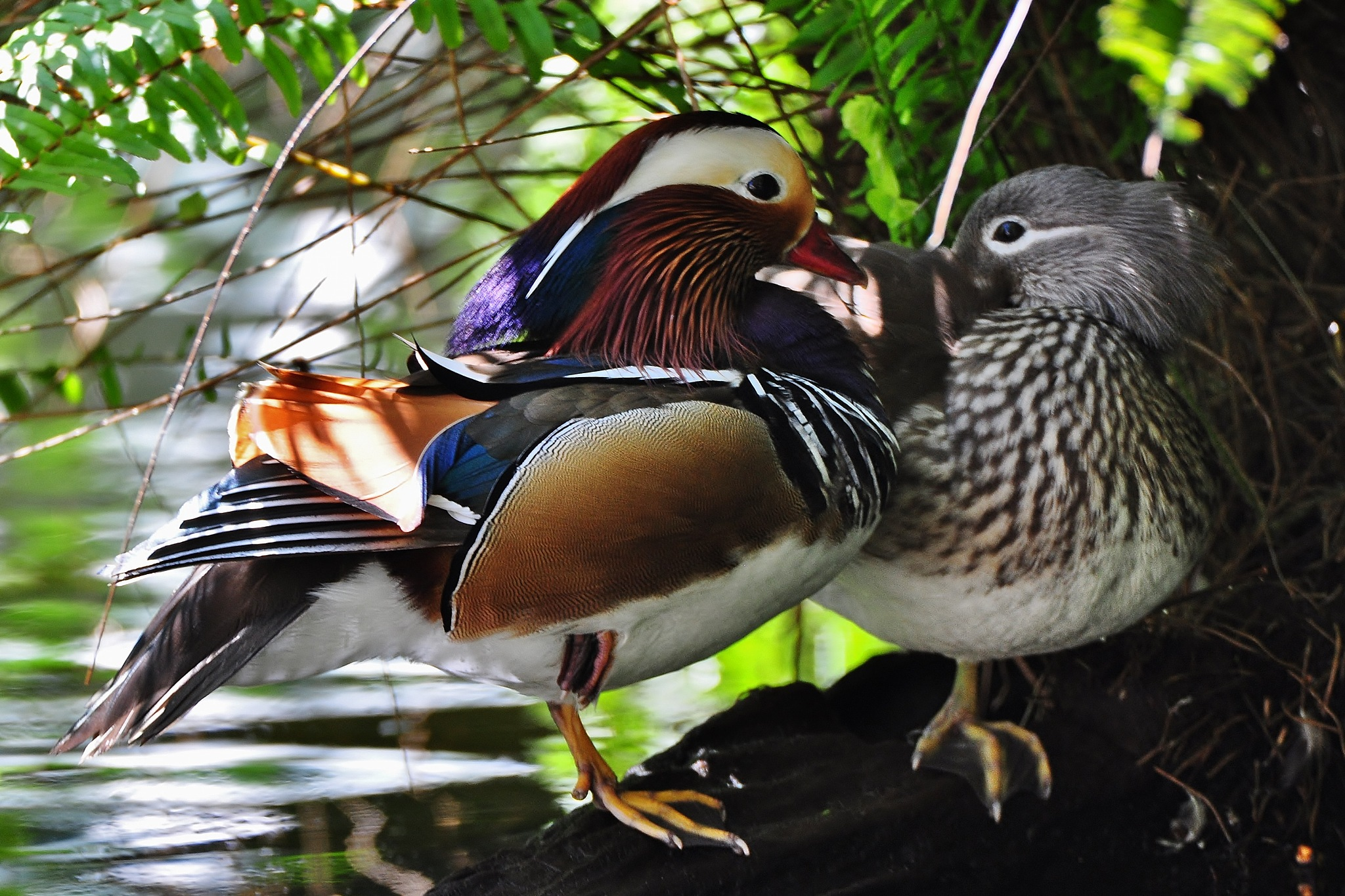 Mandarin duck couple by Louis Frielink