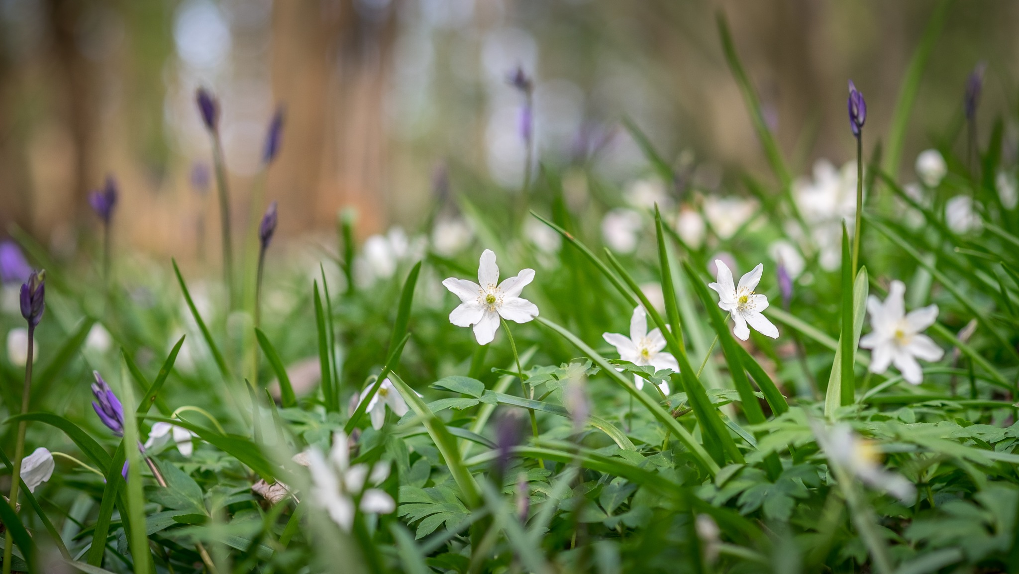 wood anenomes in abbotts wood by marchare
