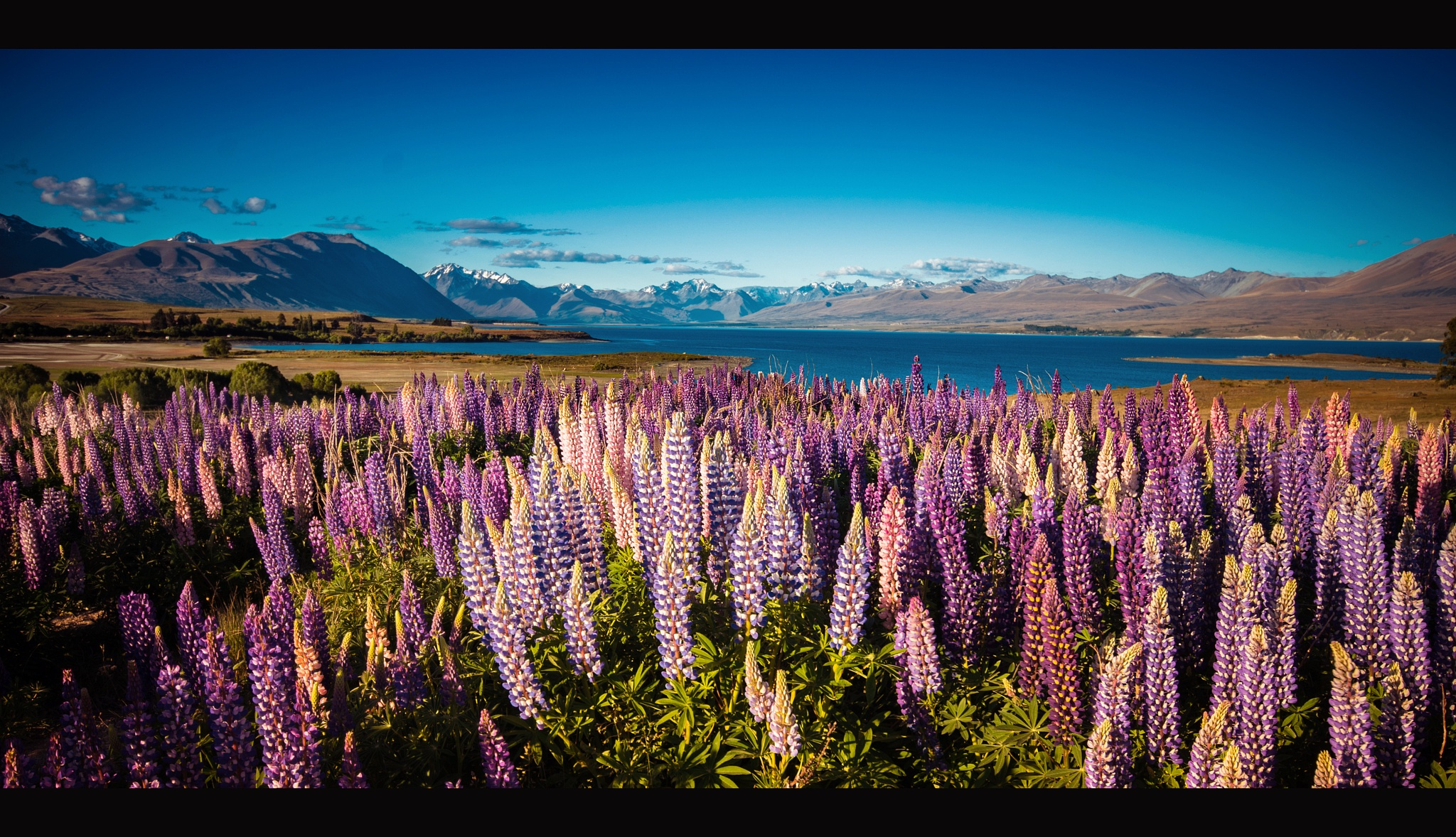 Lupins near Lake Alexandria by parvezkhaled