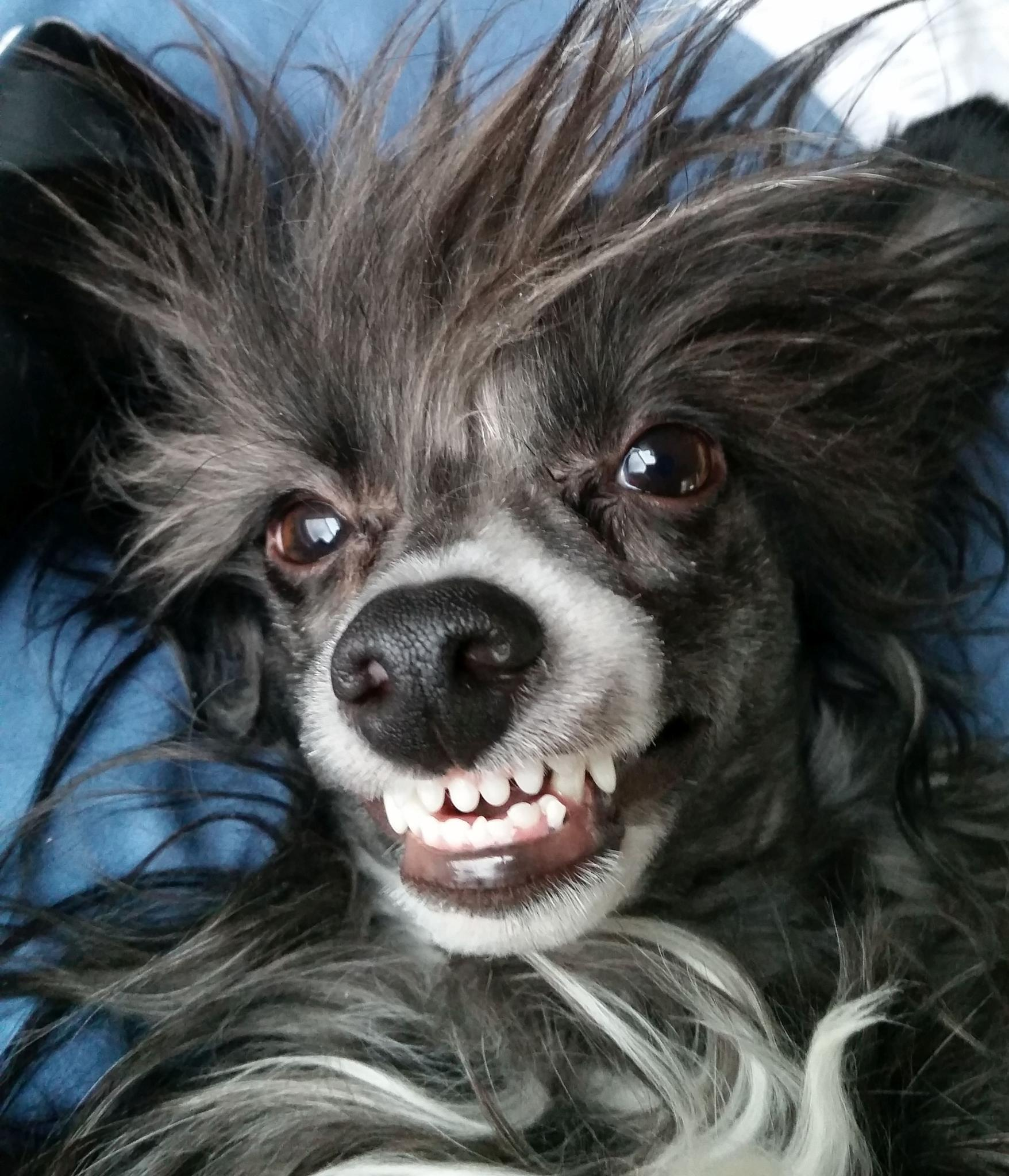 Chinese crested smile by Cahira
