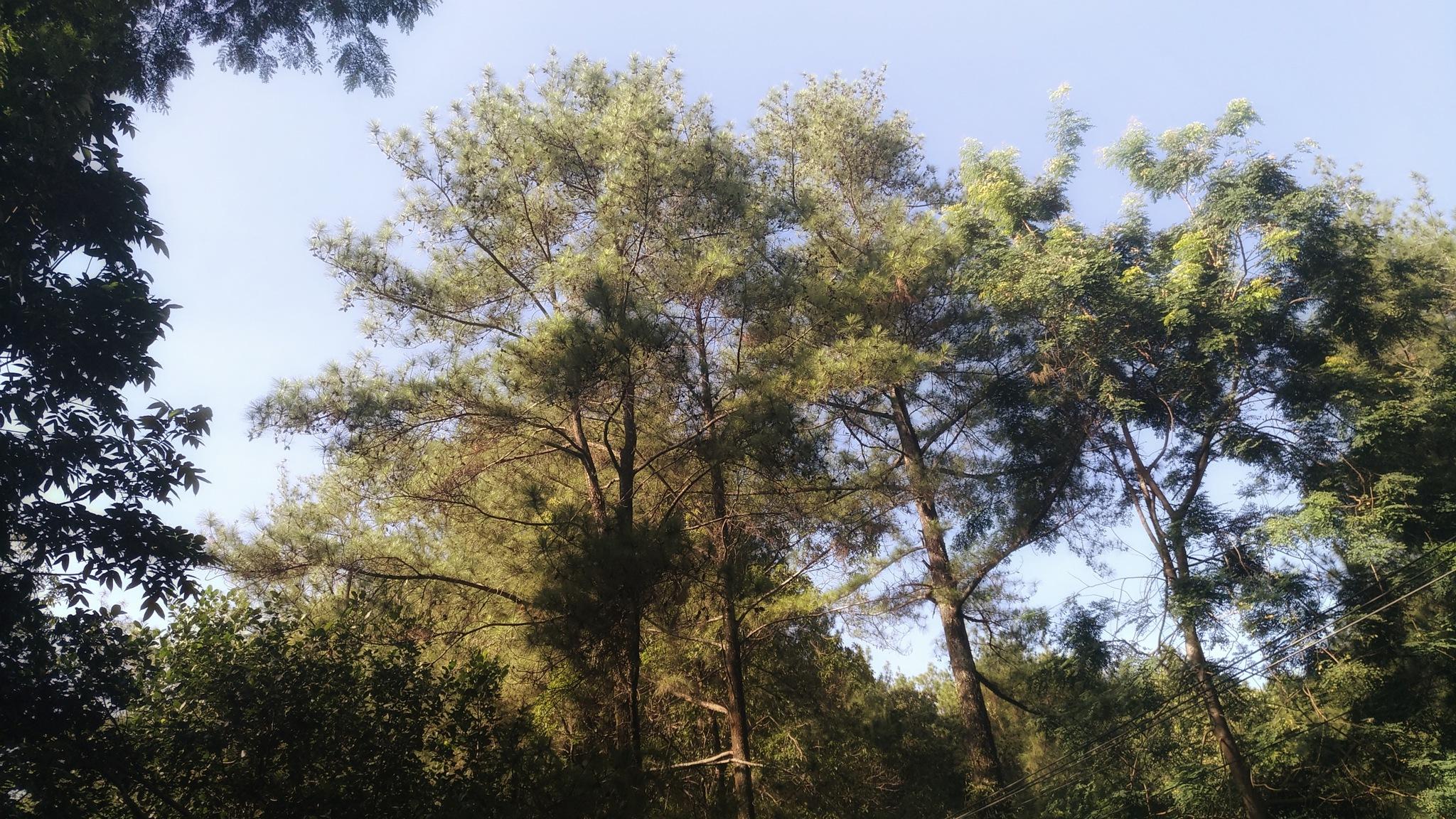 Pine Tree by Bavner Donaldo