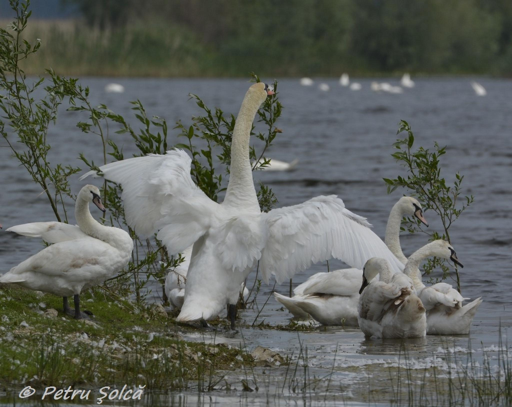 Swans in the Danube Delta by Petru Solca