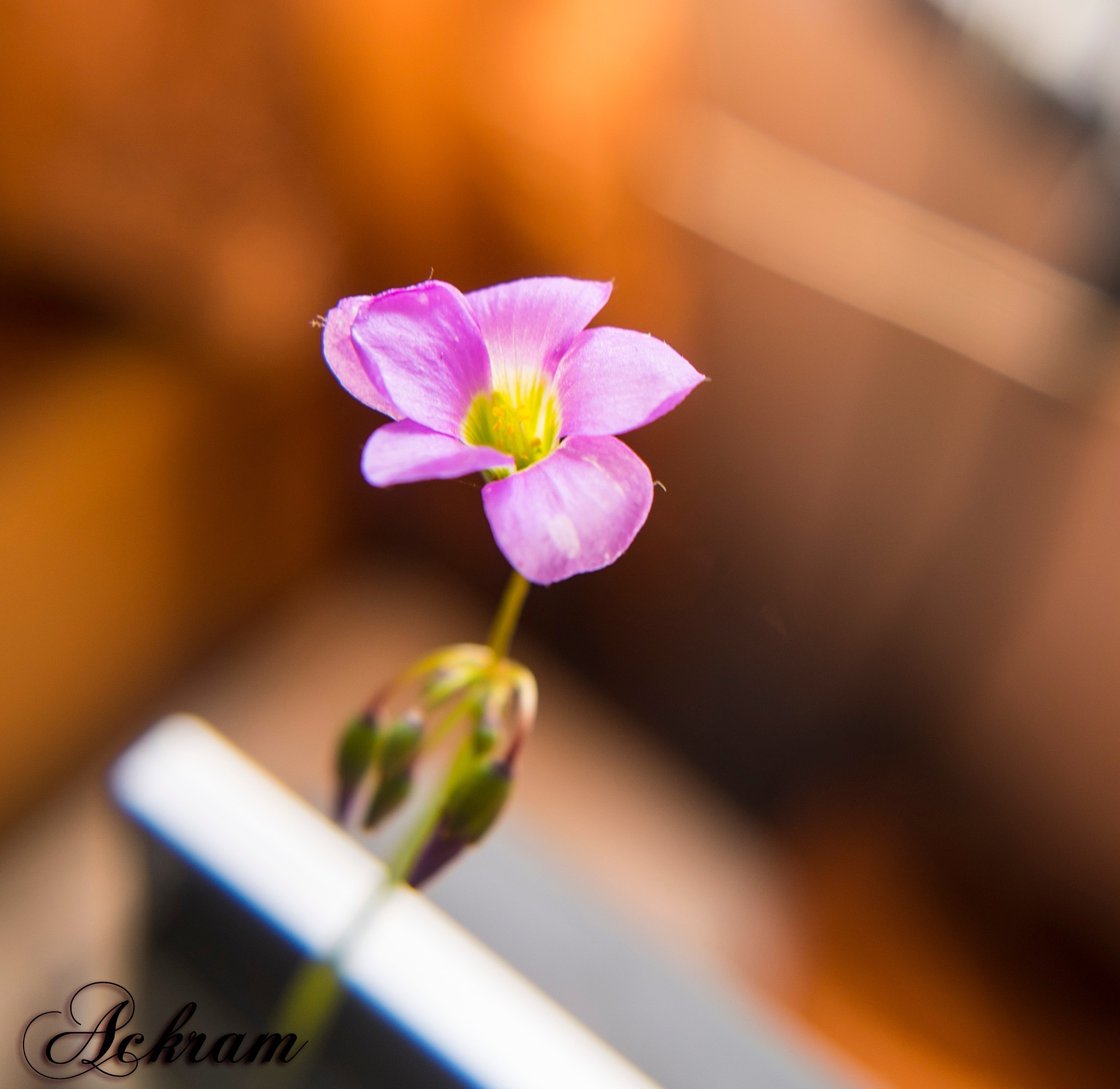Flowers by Ackram