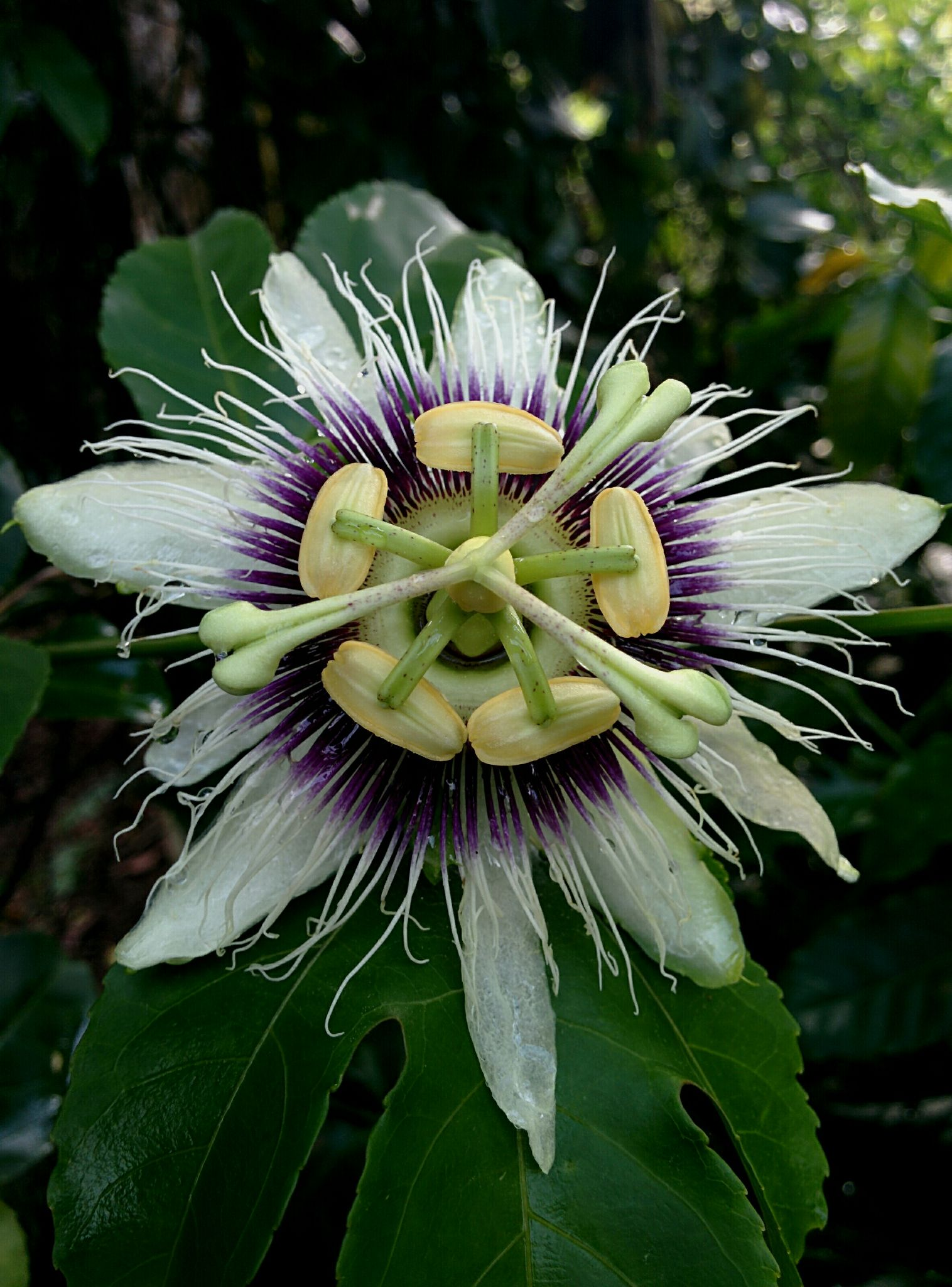 Passionfruit flower  by Marietty Rodriguez