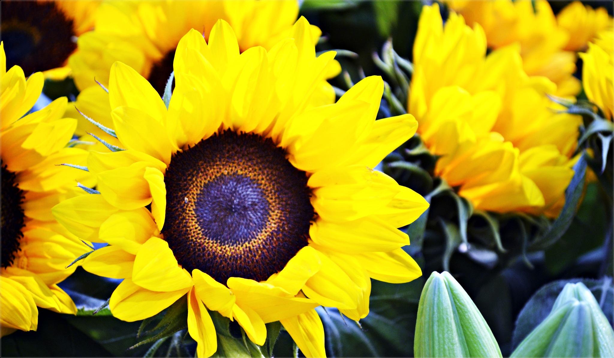 sunflower by CarlaLuma