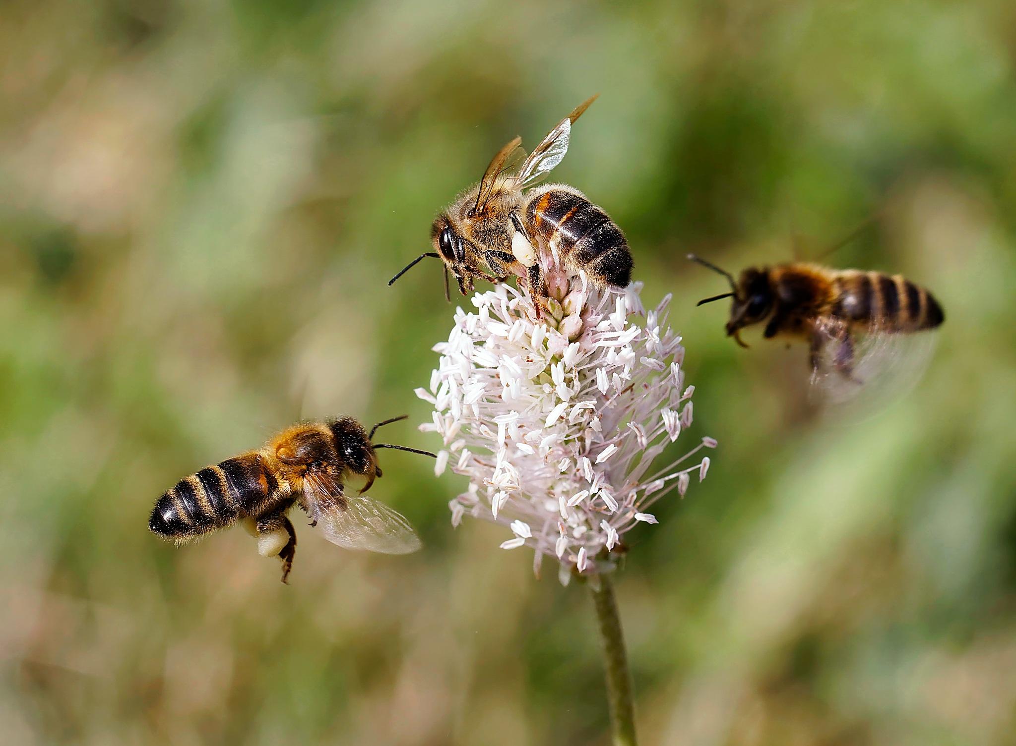 A l'assaut du pollen. by BernardSerge