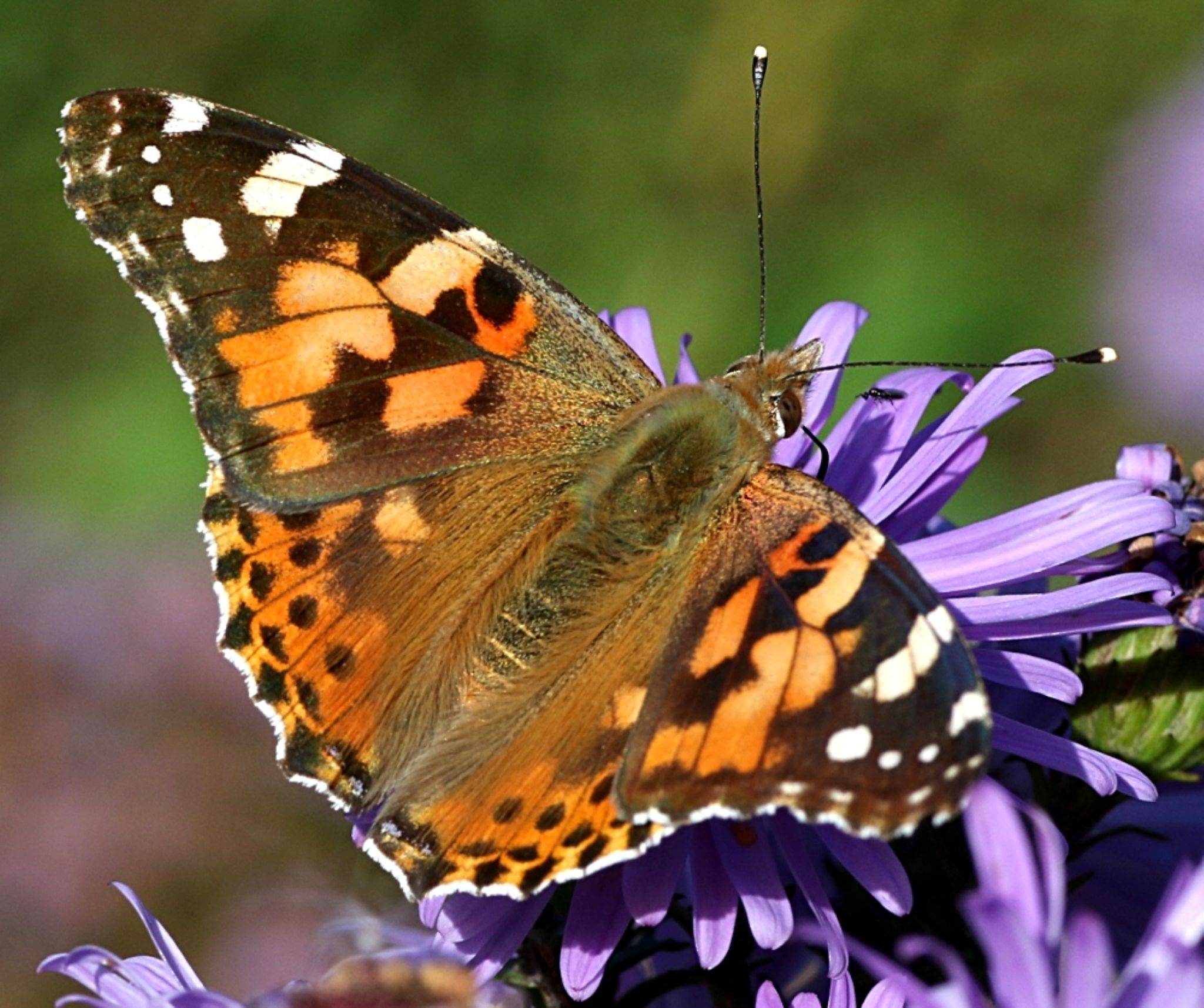 Painted Lady by ChrissieBarrow