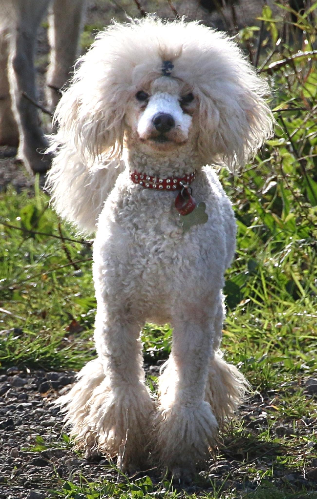 Photo in Animal #pet #dog #poodle #pup #puppy #miniature #white #fur #nose #collar #legs #eyes #ears #tail