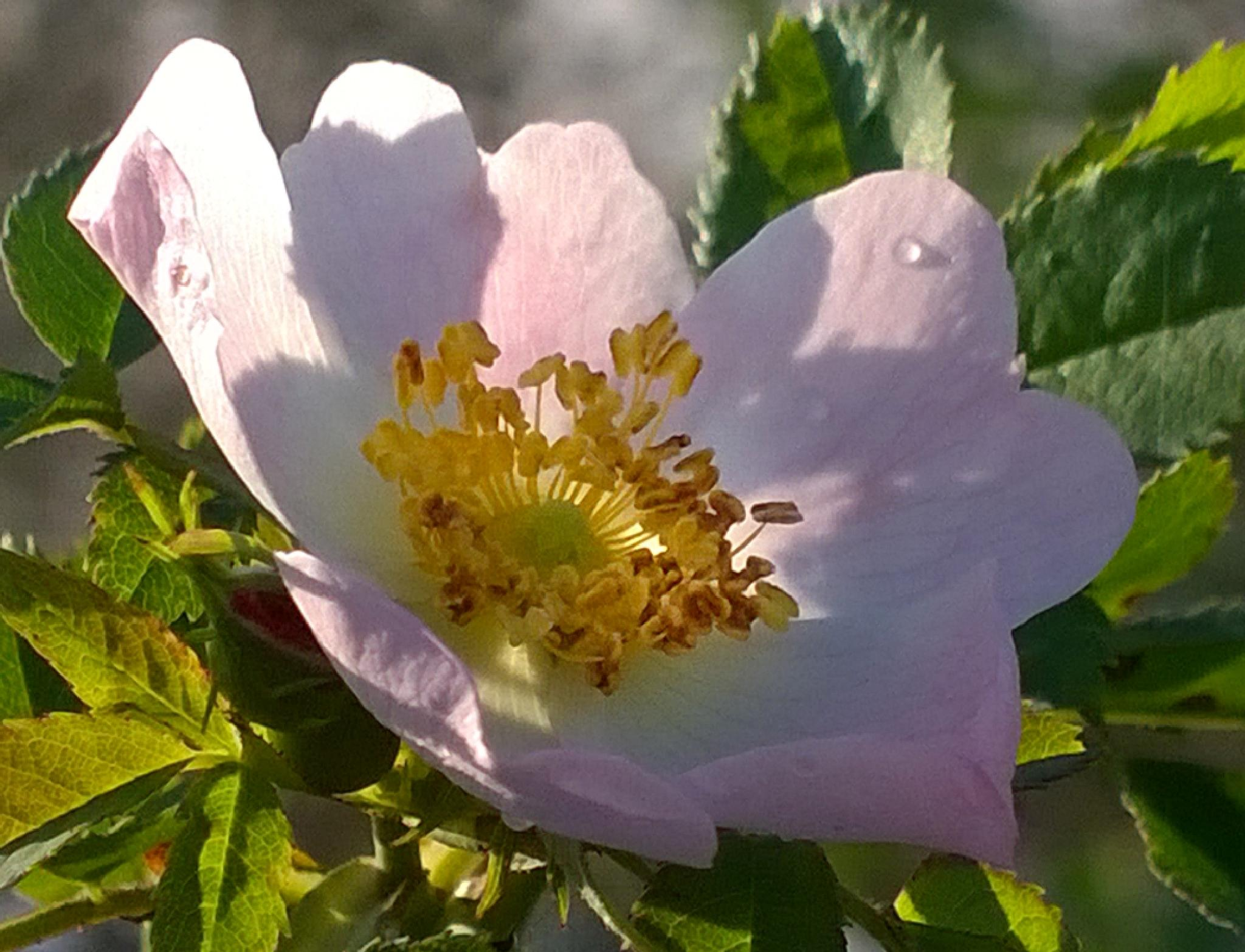 Dog Rose - seen today!!  by ChrissieBarrow