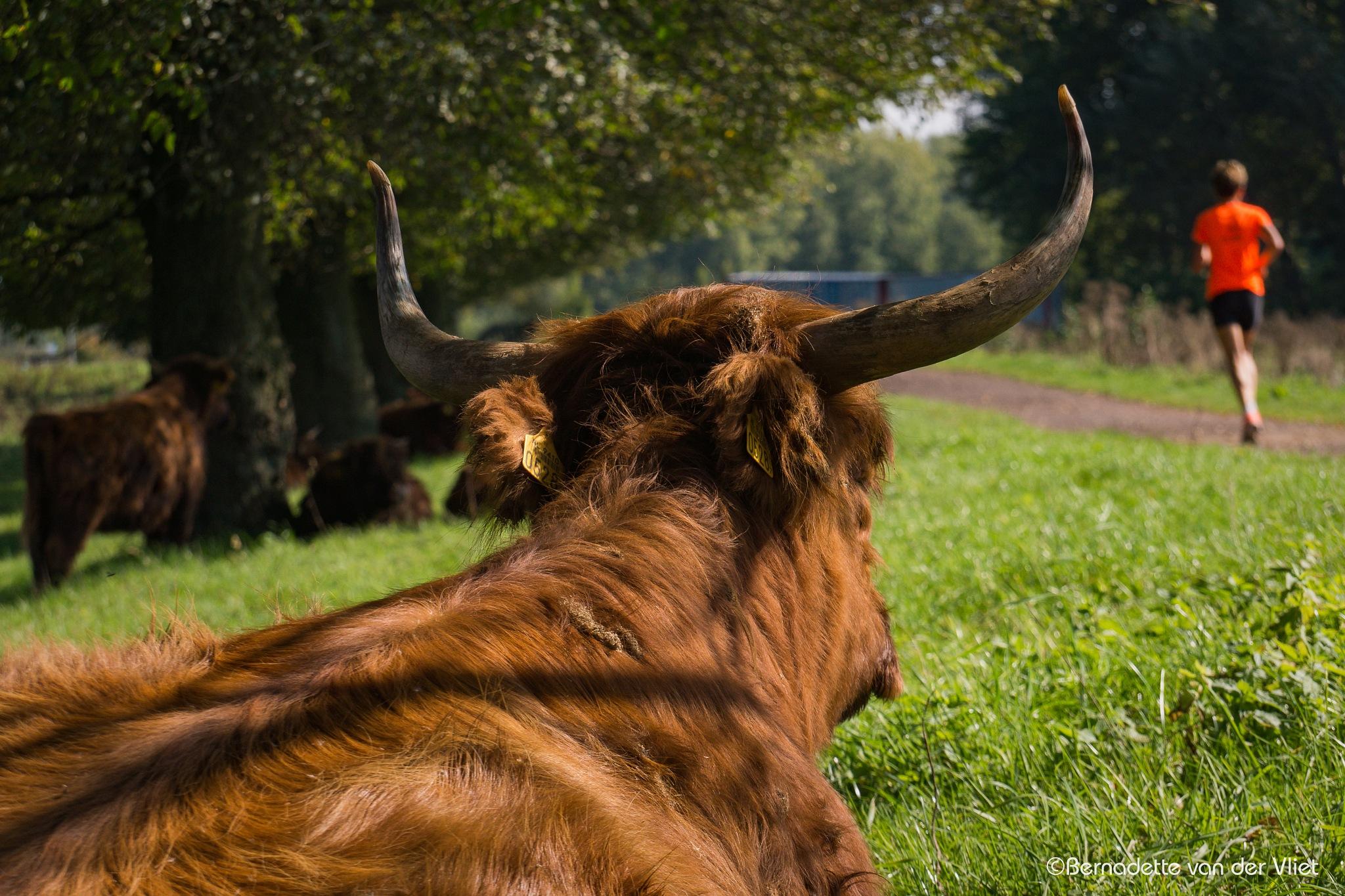 Cow and runner by Bernadette van der Vliet