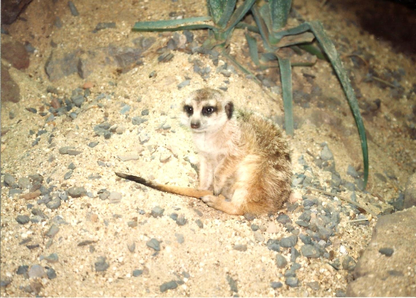 AFRICAN SLENDER-TAILED MEERKAT by Hope Atwood Dayhoff