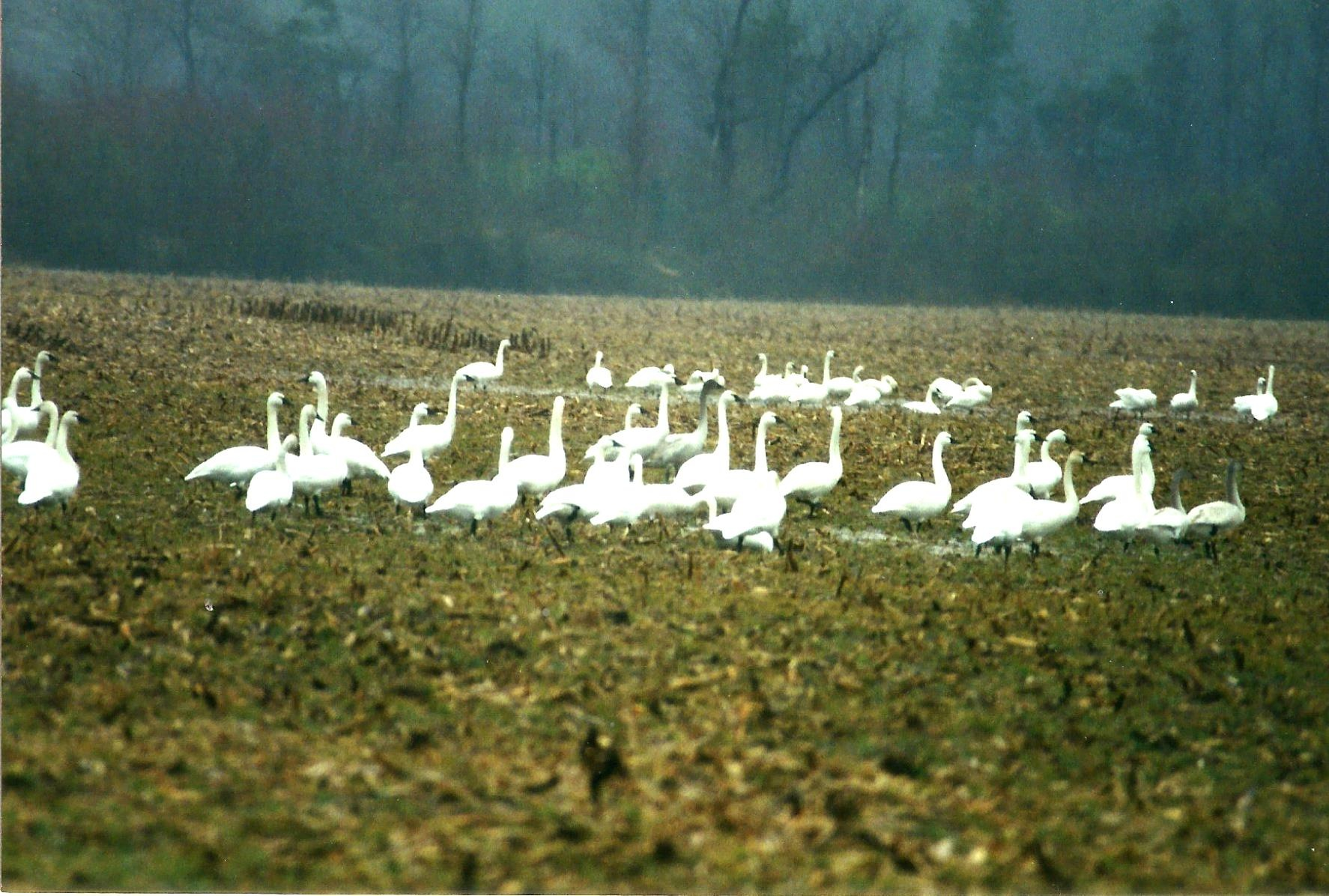 THE TUNDRA SWANS MEETING PLACE by Hope Atwood Dayhoff