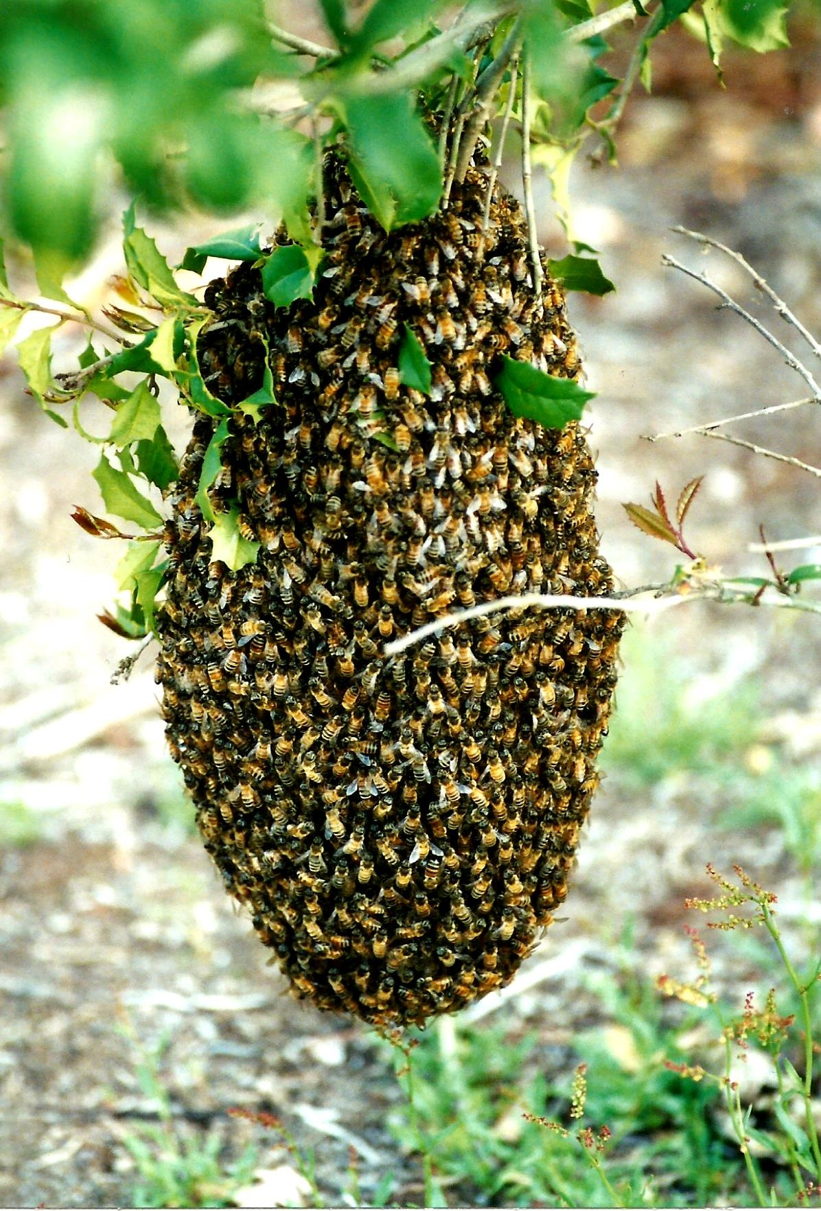 BEE SWARM MOVING ON by Hope Atwood Dayhoff