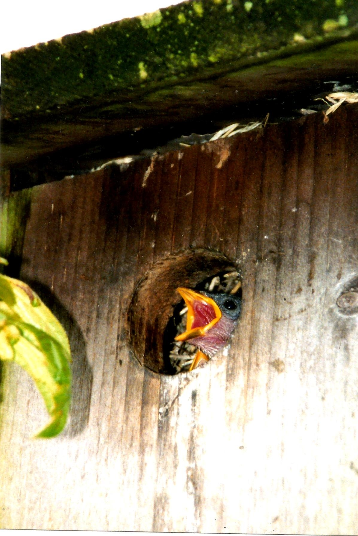HUNGRY SWALLOW BABIES by Hope Atwood Dayhoff