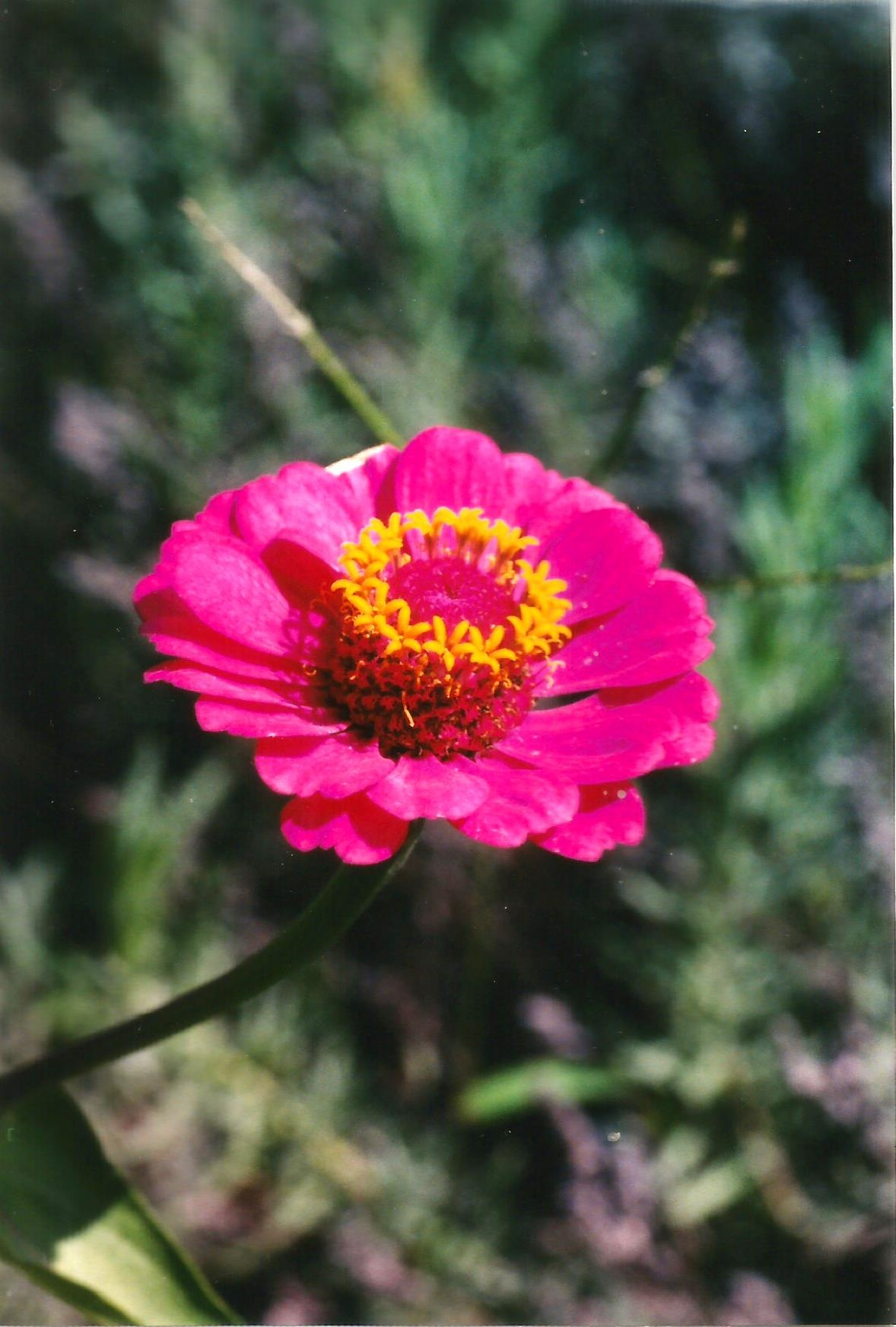 THE ZINNIA FLOWER by Hope Atwood Dayhoff
