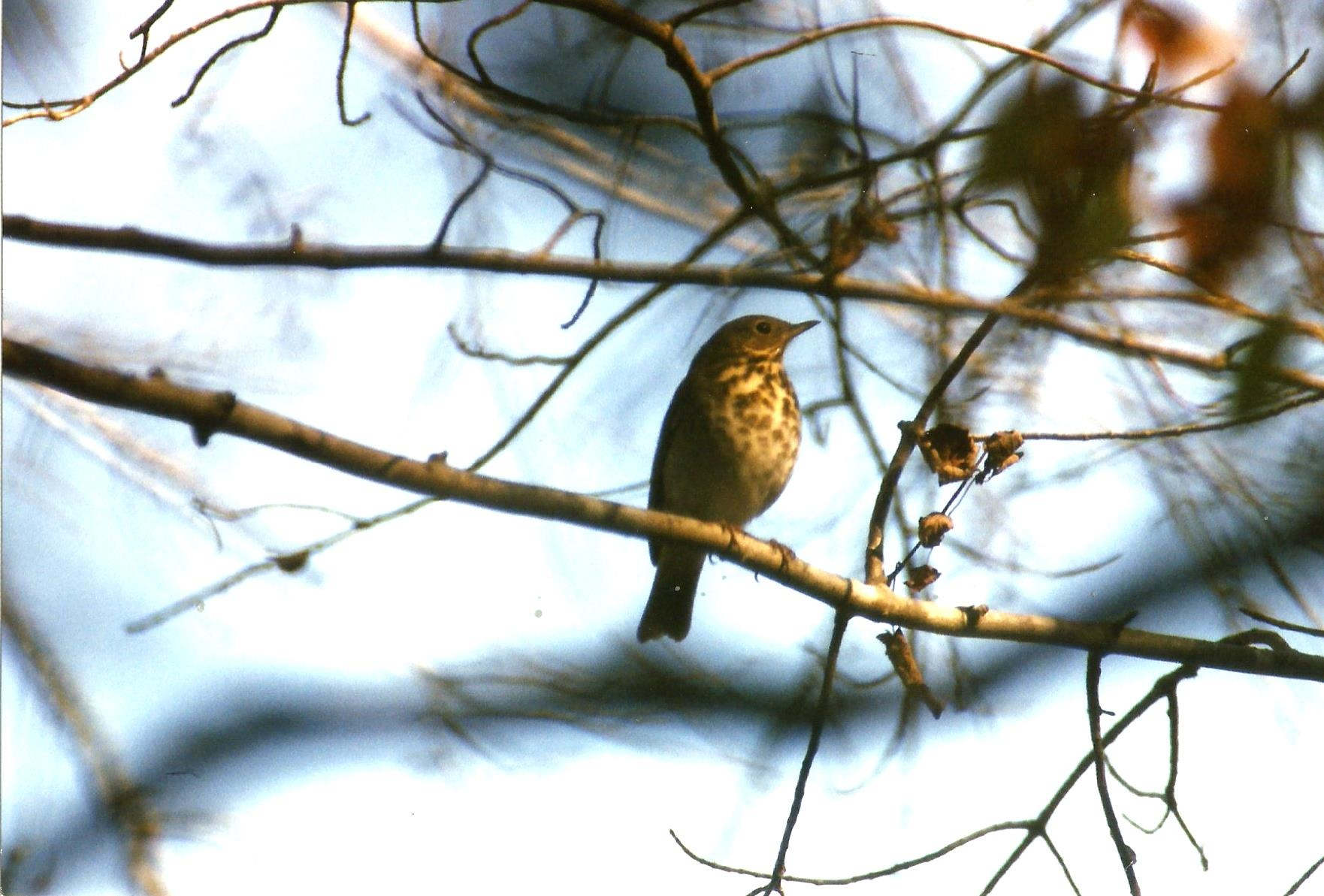 THE WOODLAND HERMIT THRUSH by Hope Atwood Dayhoff